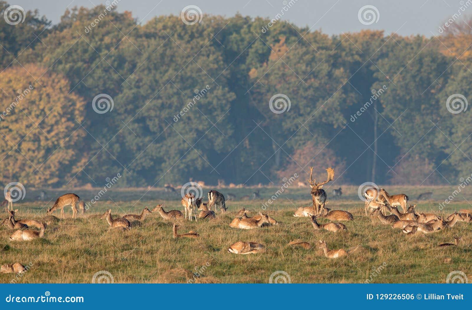 小鹿,黄鹿黄鹿,有他的牧群的大型装配架做在Eremitagesletten在Dyrehave,丹麦