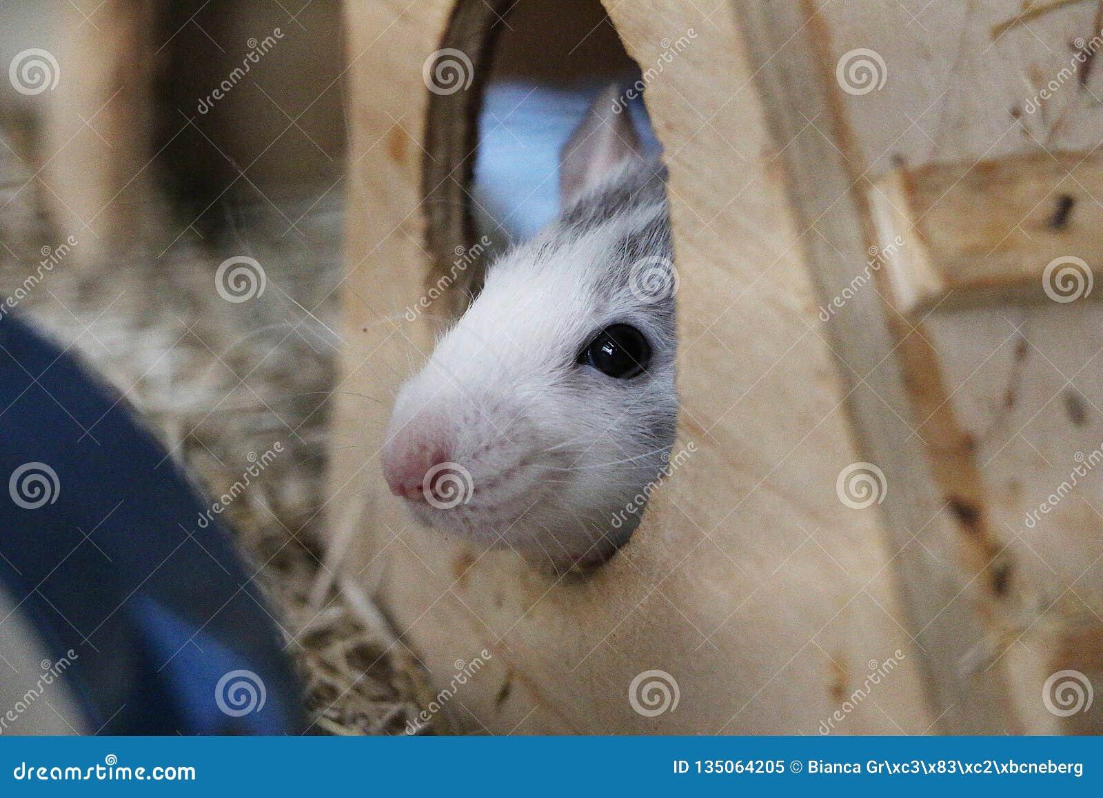 小鼠在他的房子里