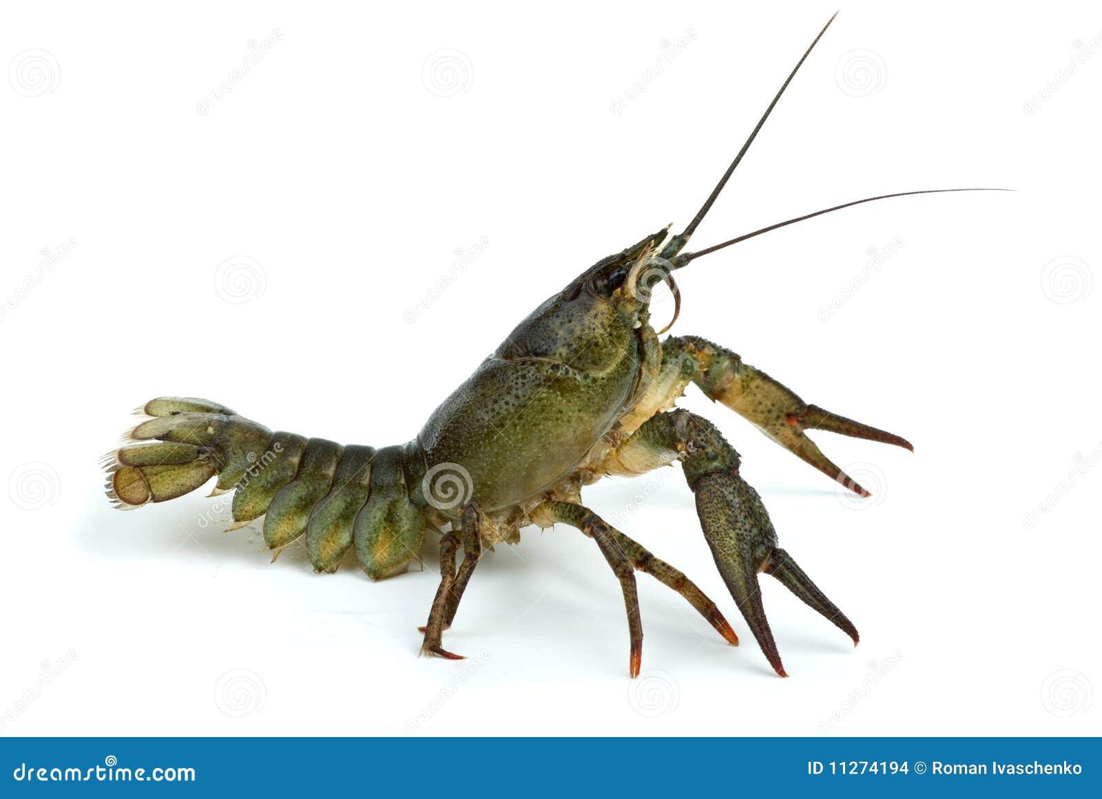 小龙虾防御地位