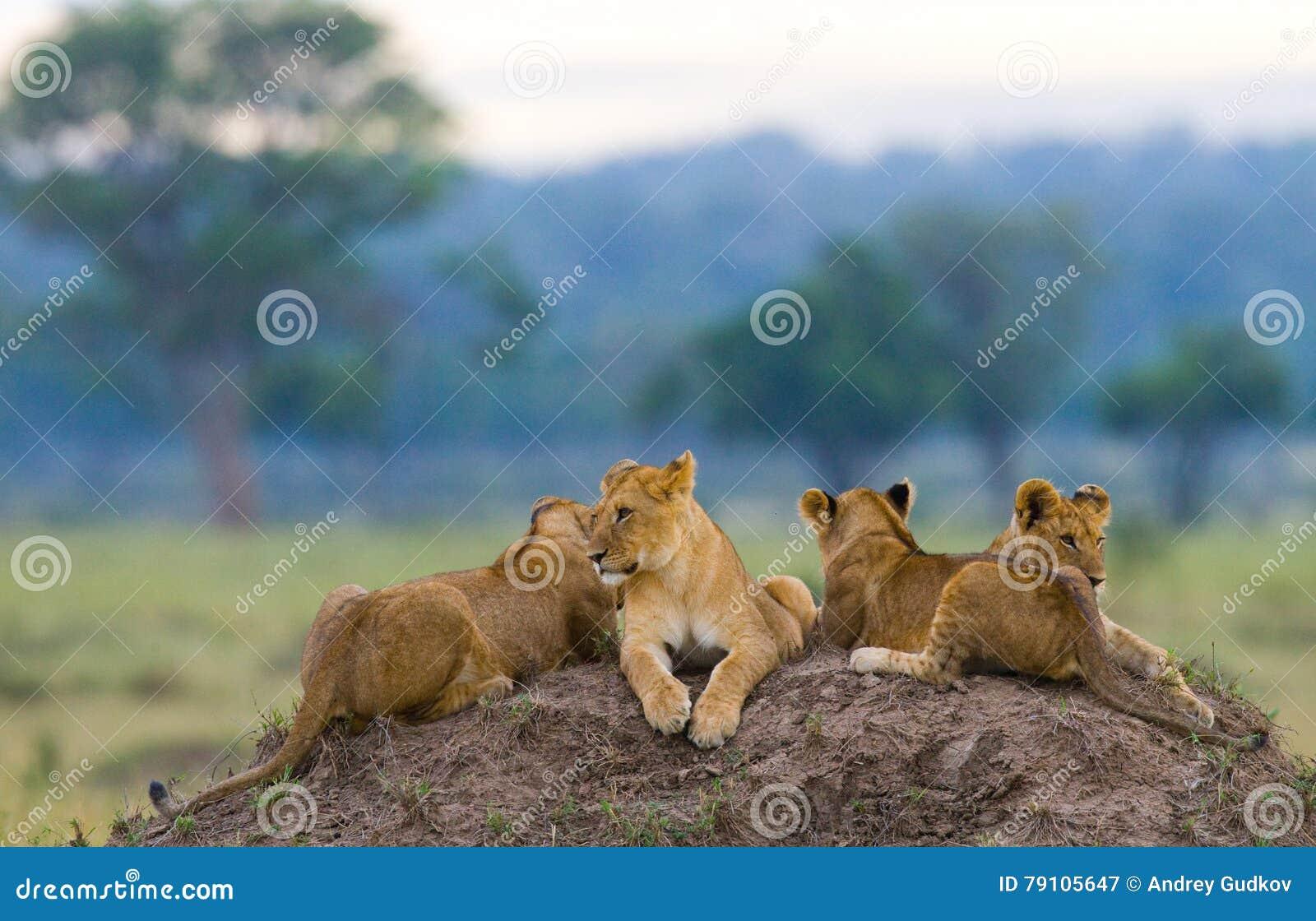 小组在小山的幼小狮子 国家公园 肯尼亚 坦桑尼亚 mara马塞语 serengeti