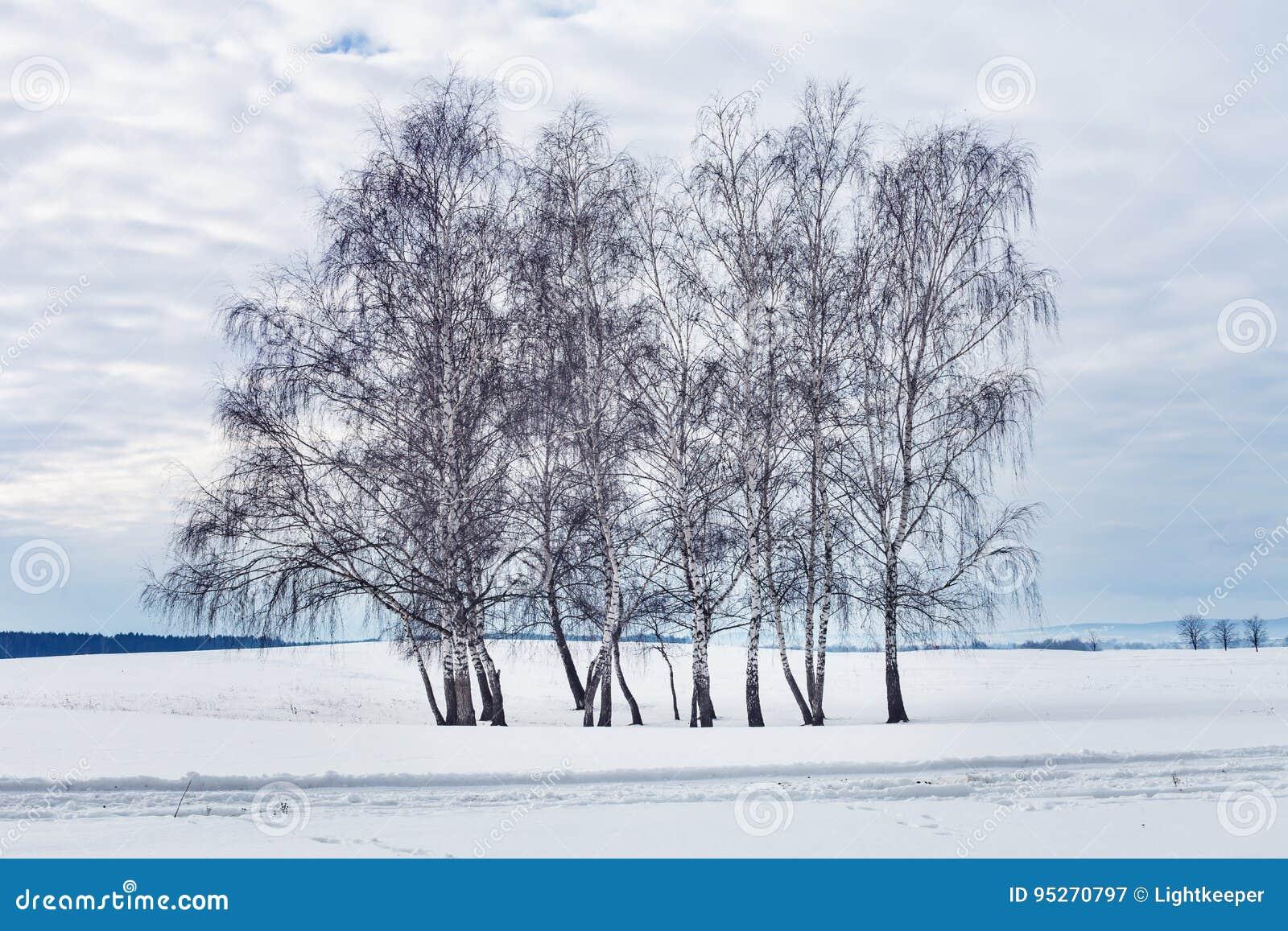 小组桦树在冬天