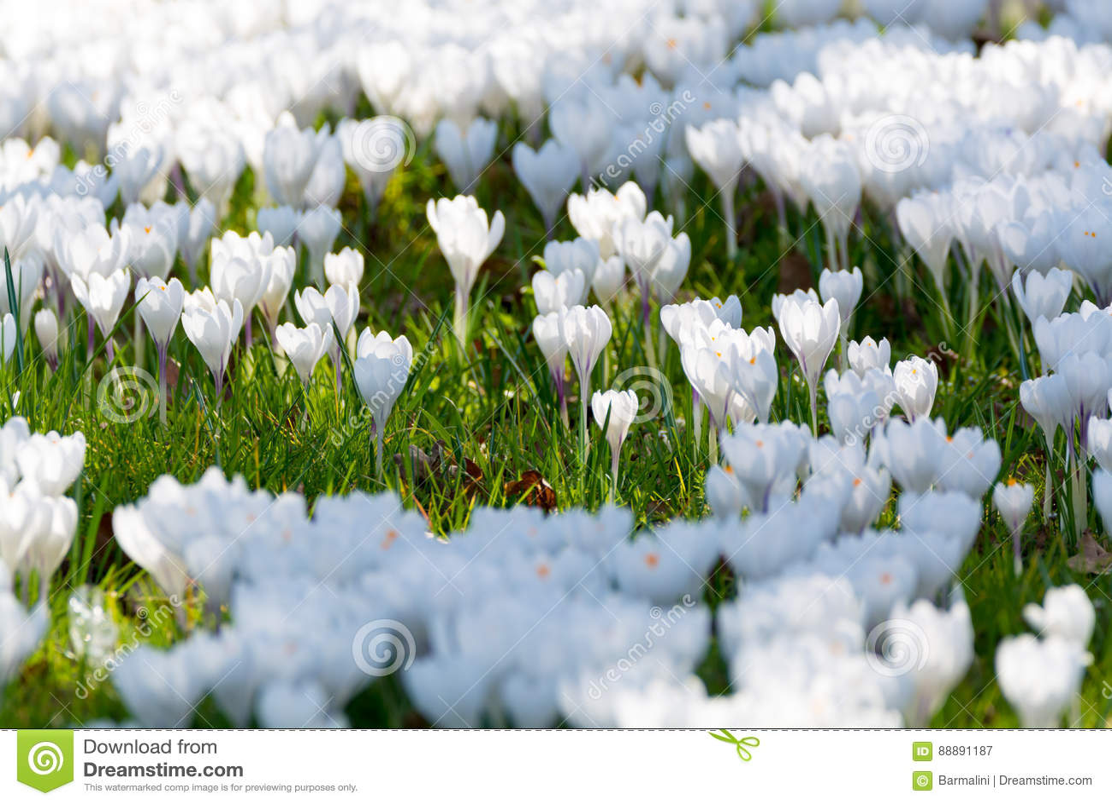 小组第一春天开花-大白色番红花开花outsi