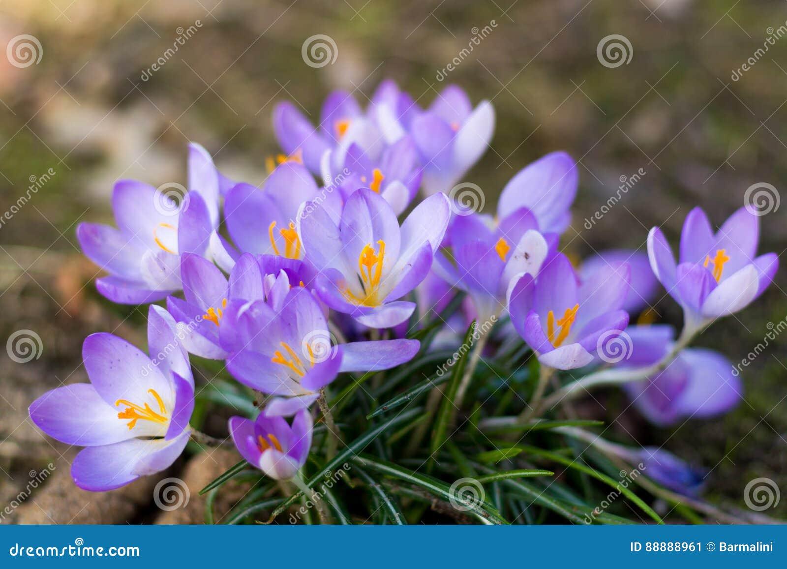 小组第一春天开花-紫色番红花开花外面