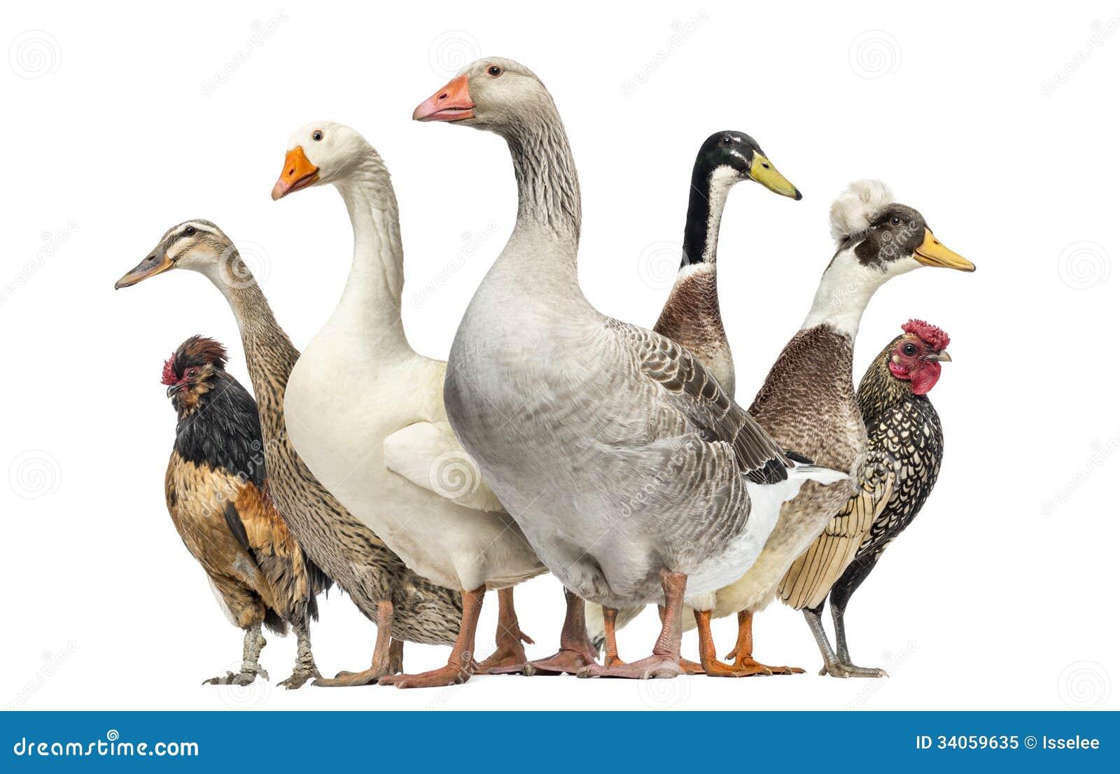 梦见鸡和鹅打架