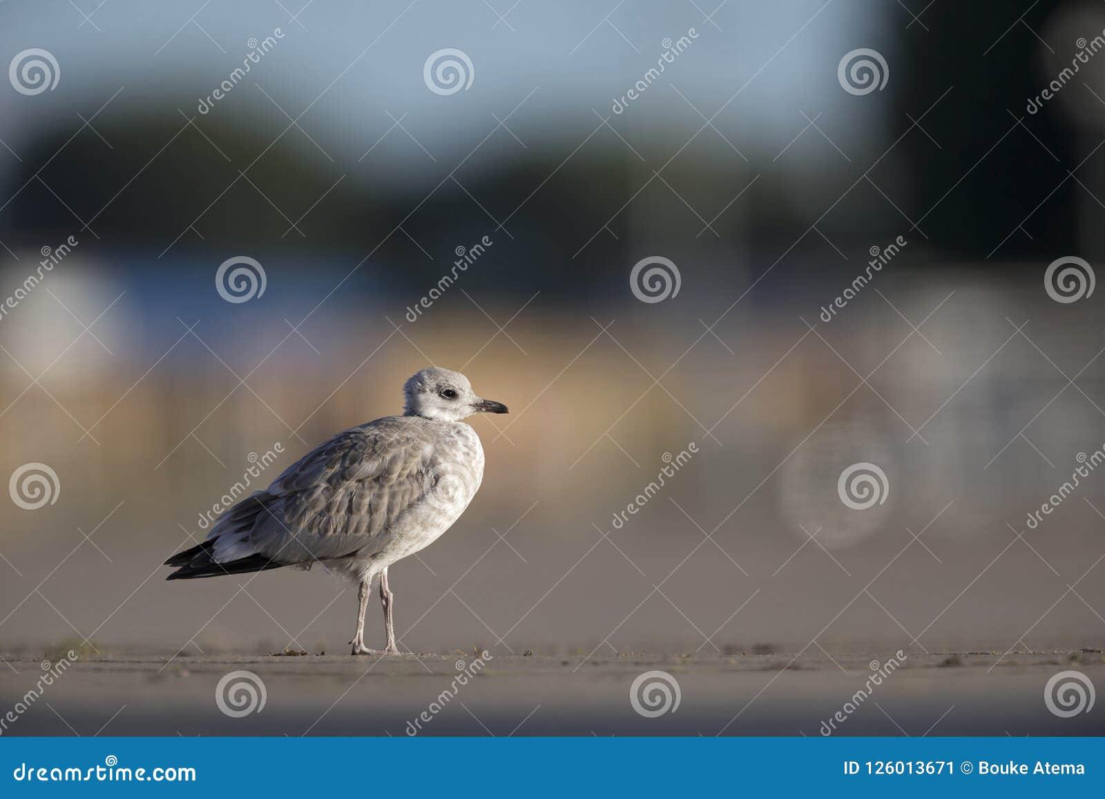 少年共同的鸥或喵喵叫鸥基于在布里曼德国港的一个停车场的鸥属canus