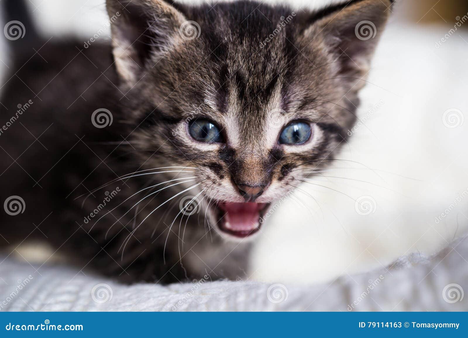 少量与开放嘴的星期年纪平纹雄猫