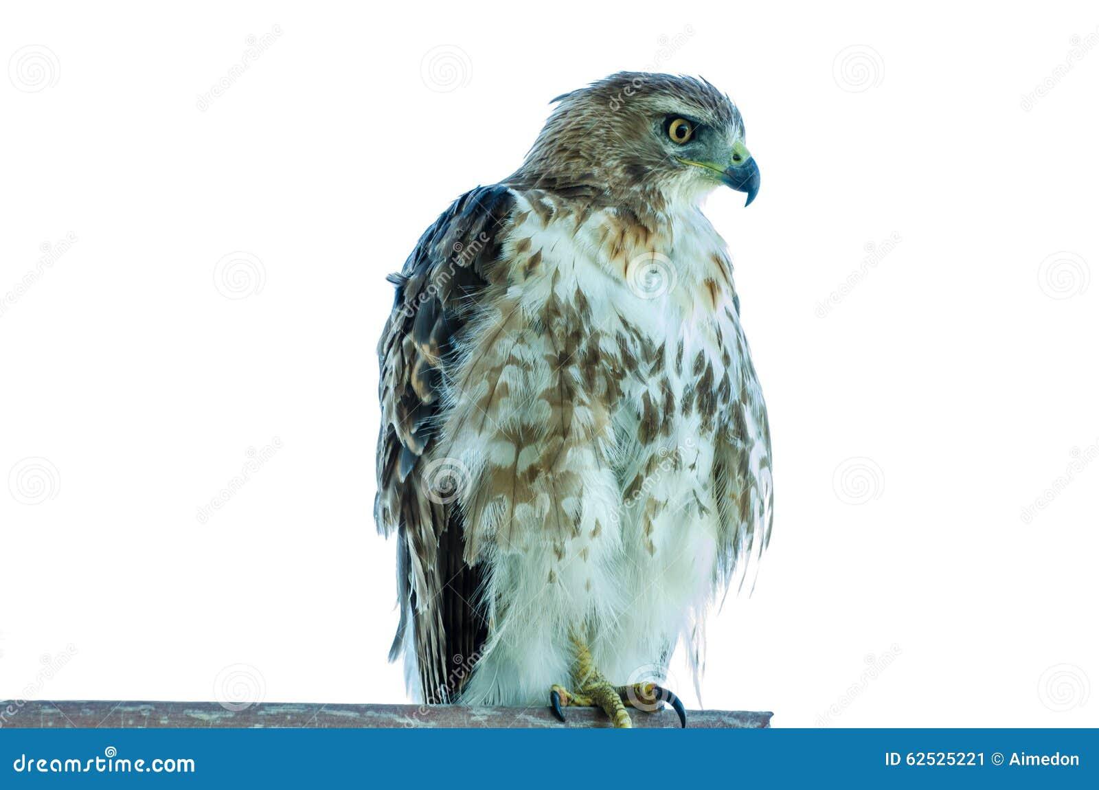 少年红色被盯梢的鹰