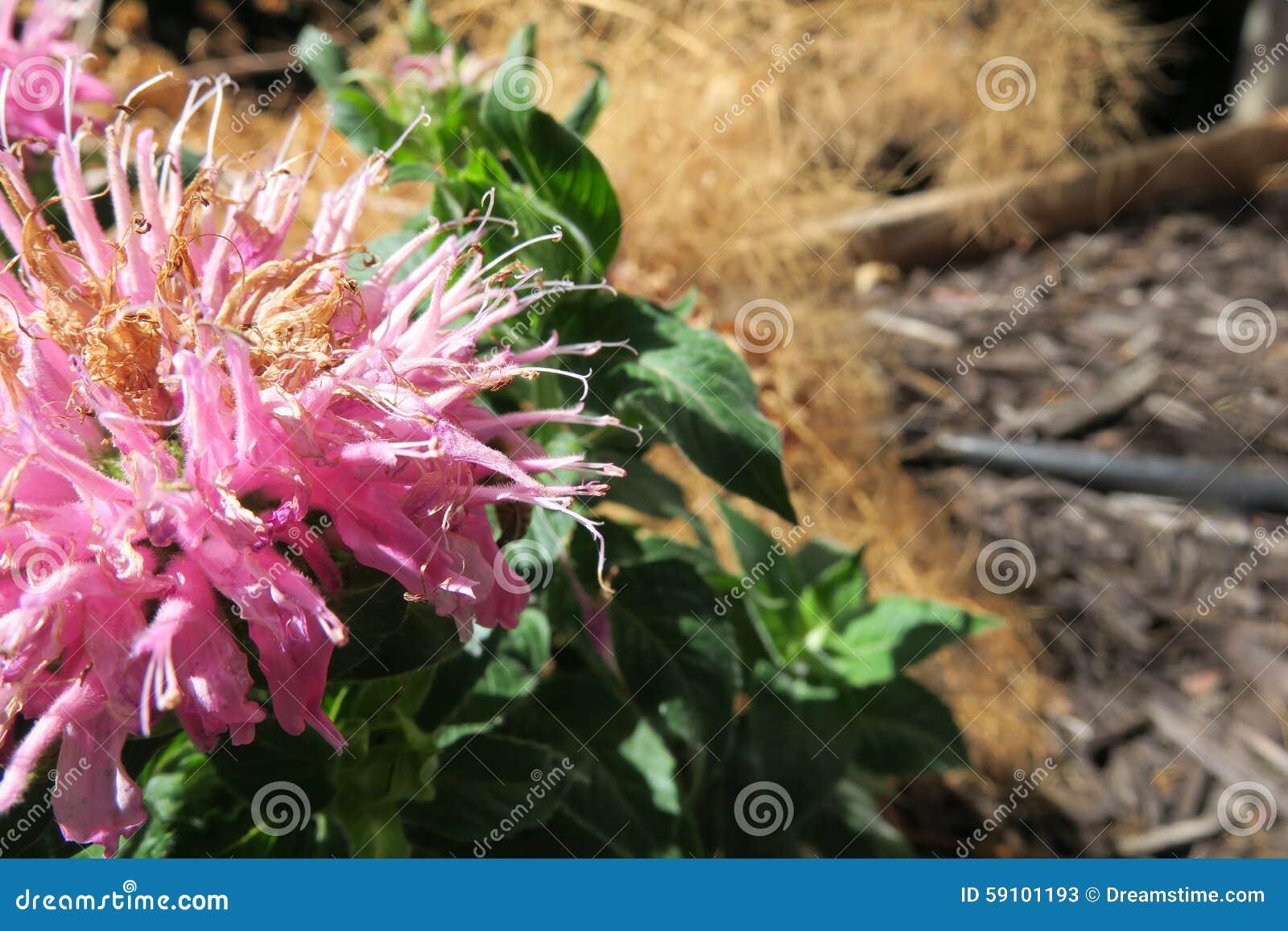 尖的桃红色花