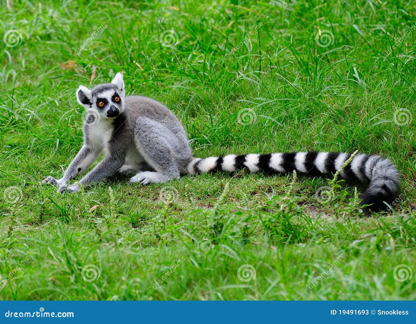 尾部有环纹的狐猴
