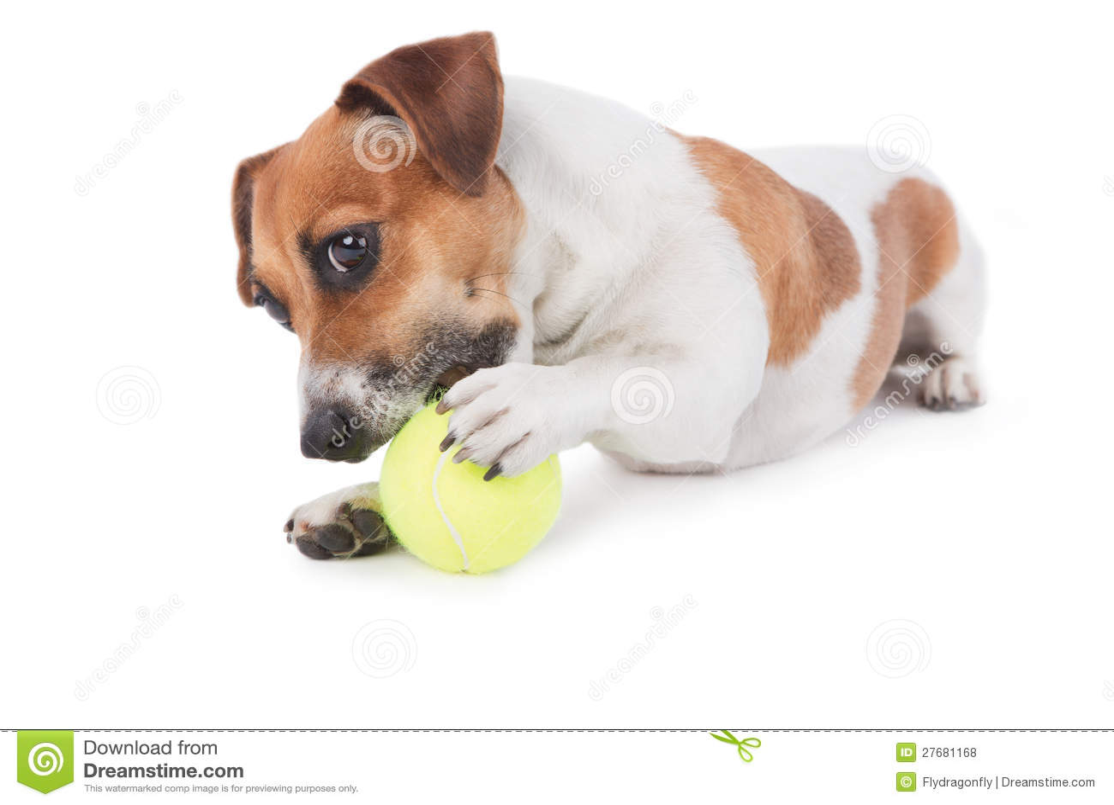 尾随使用与玩具的杰克・罗素狗。