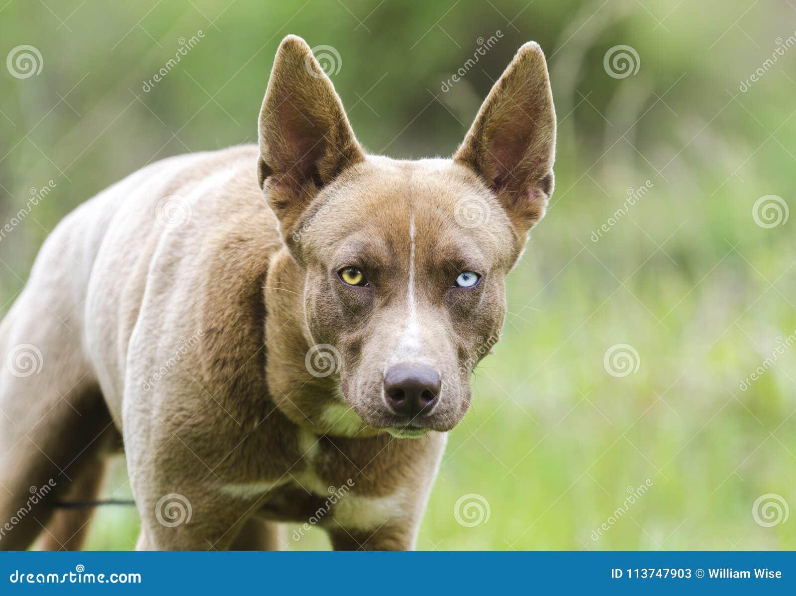 尾随凝视,与一双蓝眼睛的法老王猎犬多壳的混合狗