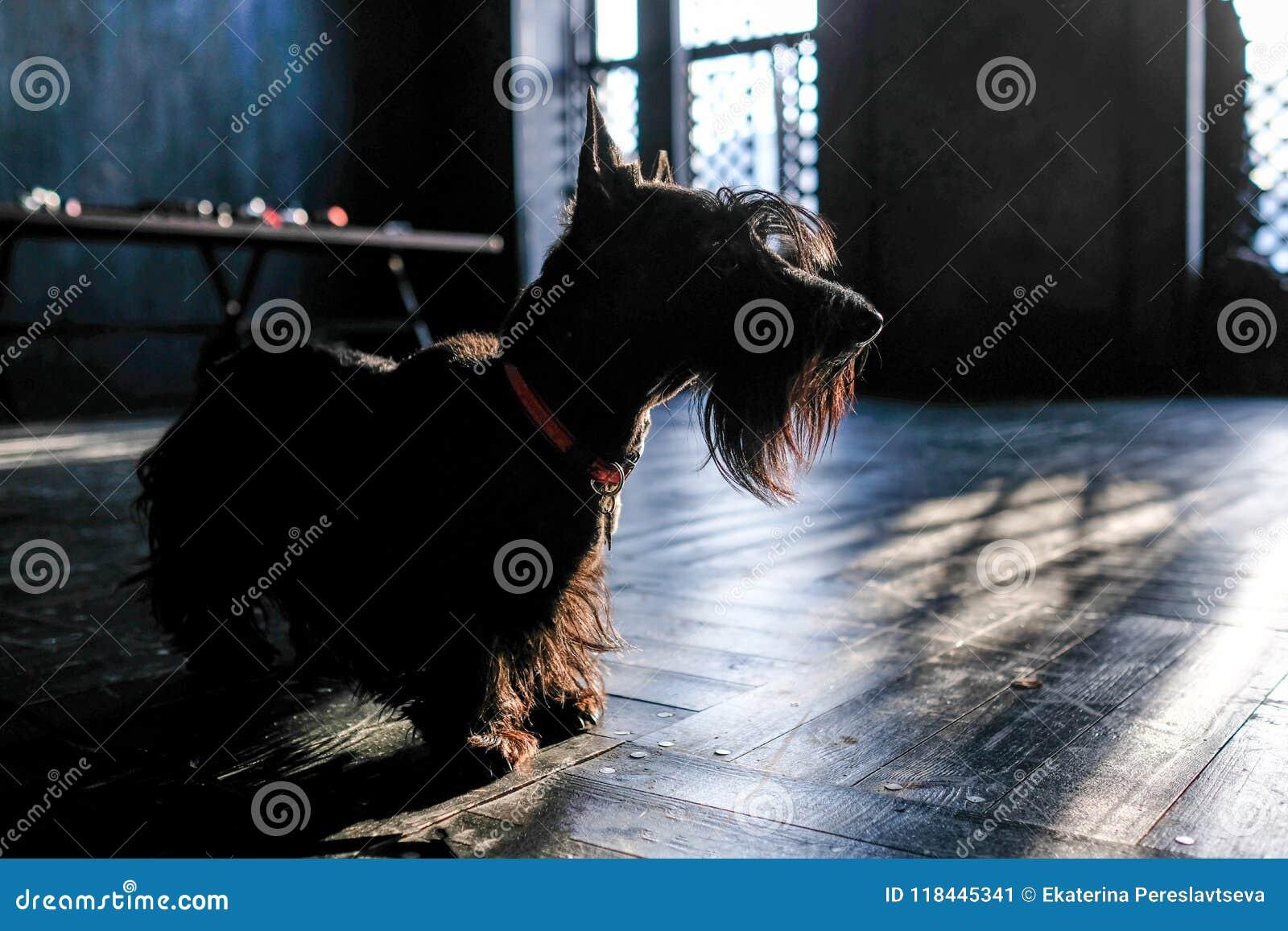 尾随黑狗,在黑地板上在阳光下,定调子