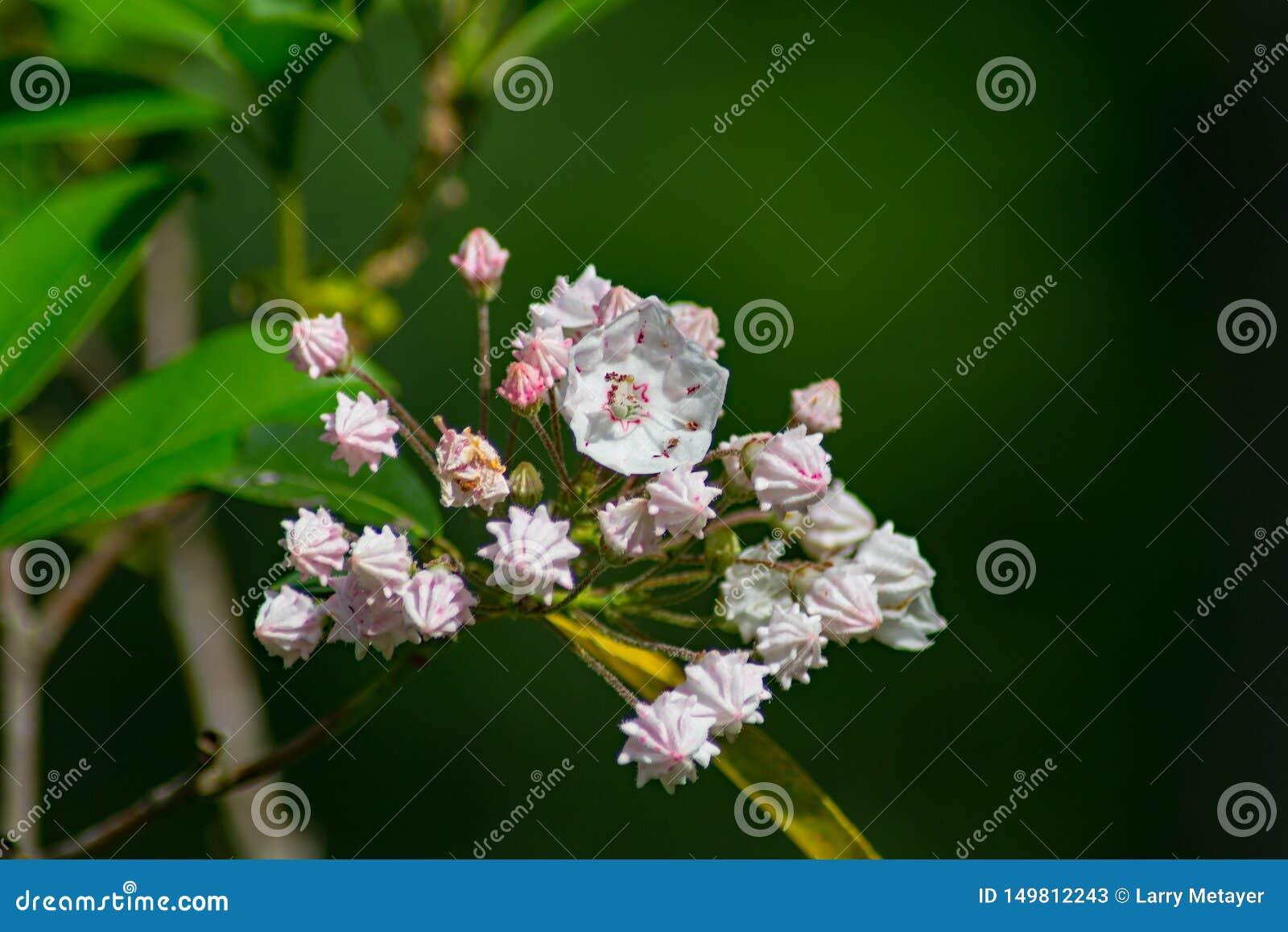 山月桂花和芽群