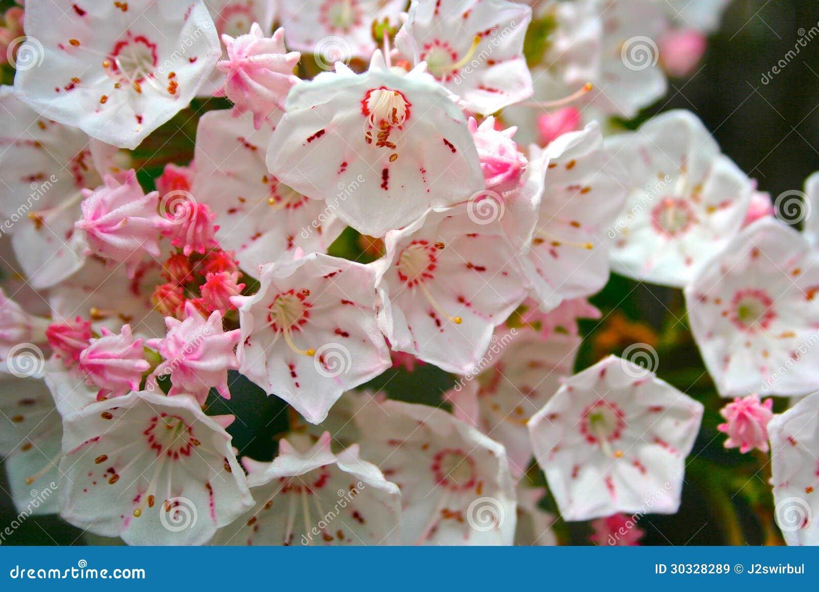 Download 山月桂 库存图片. 图片 包括有 月桂树, 粉红色, 女衬衫, 工厂, 常青树, 自然, 水平, 绽放, 楼层 - 30328289