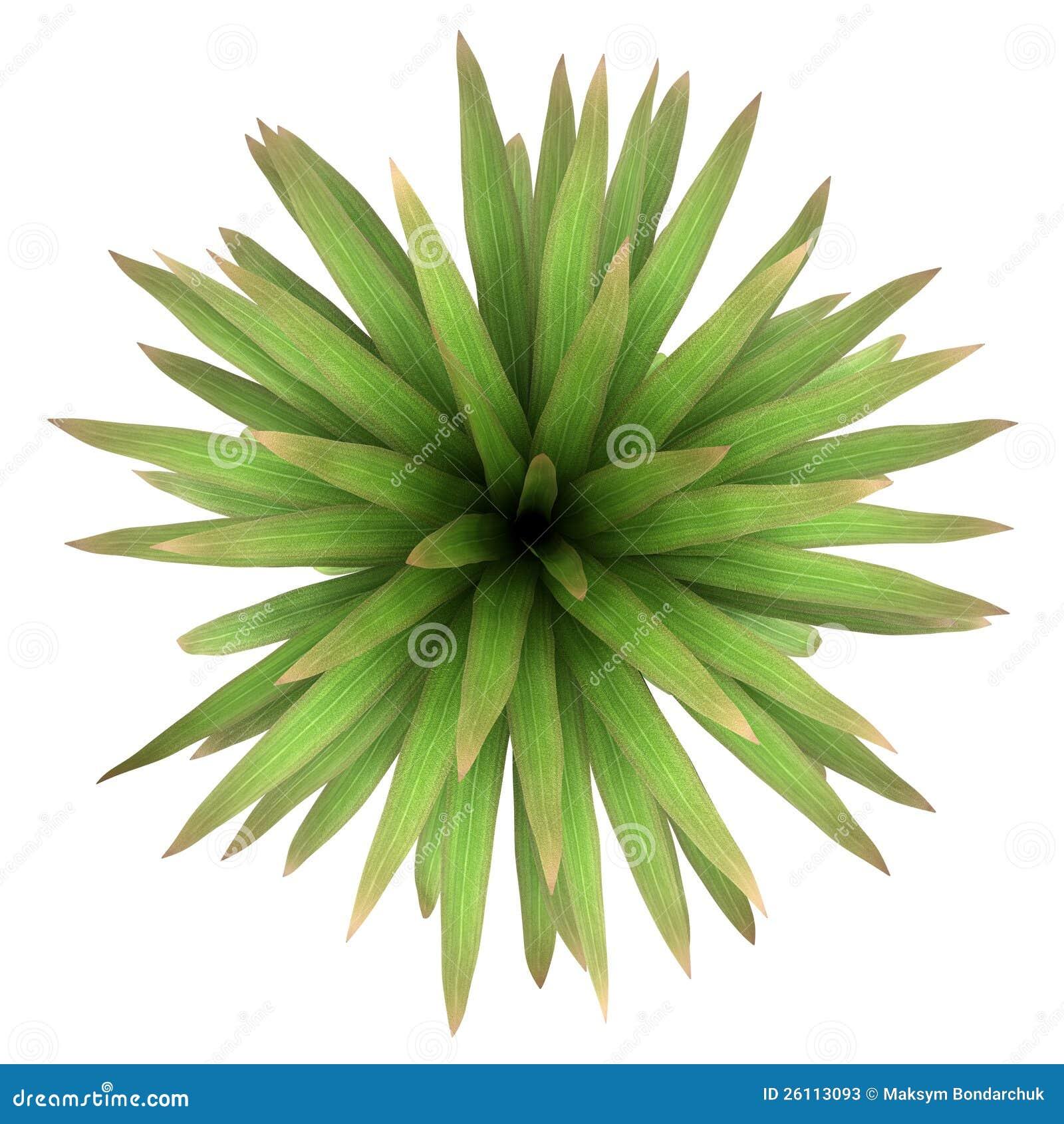 山查出的棕榈结构树顶视图