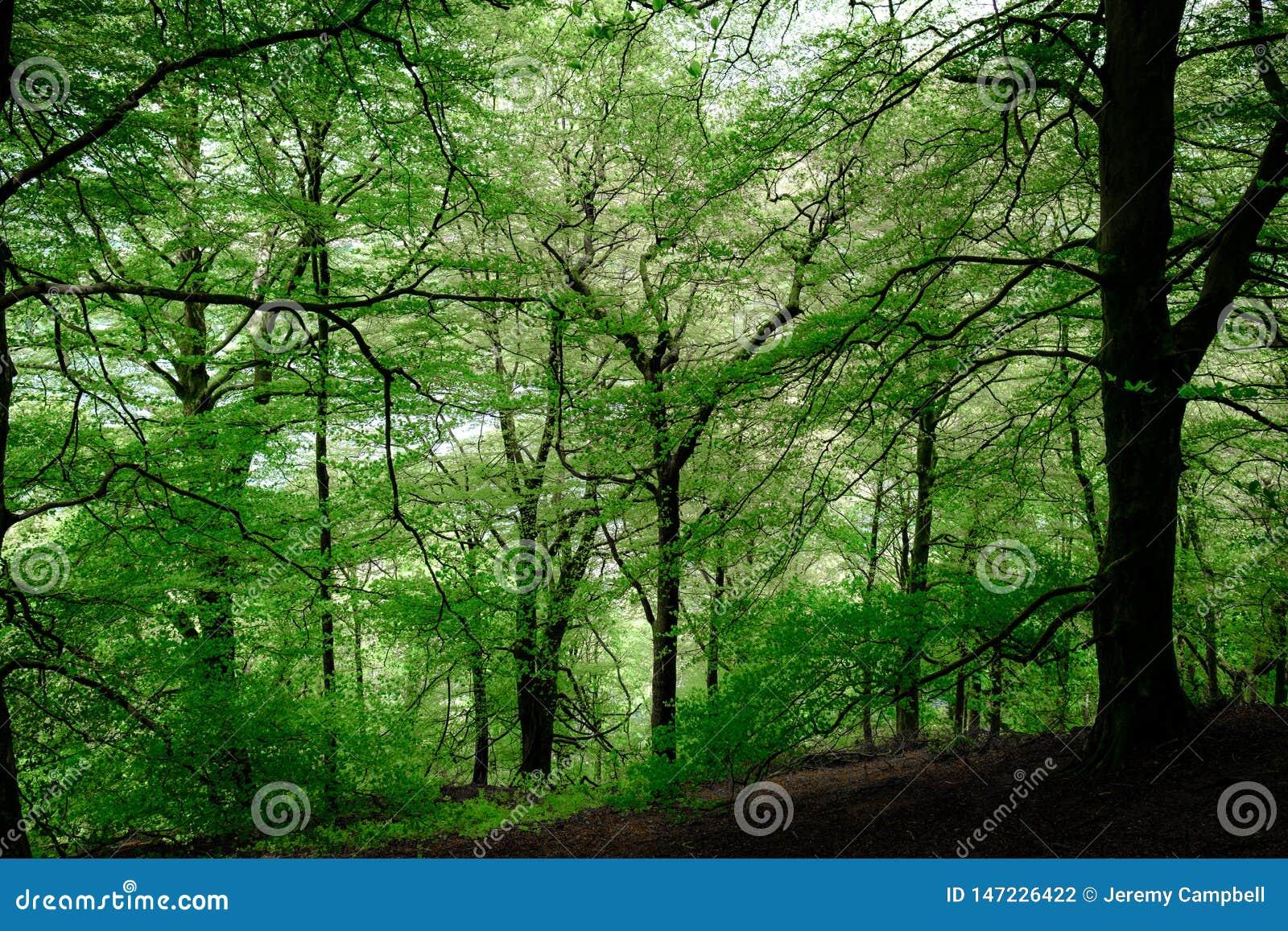山毛榉树森林地