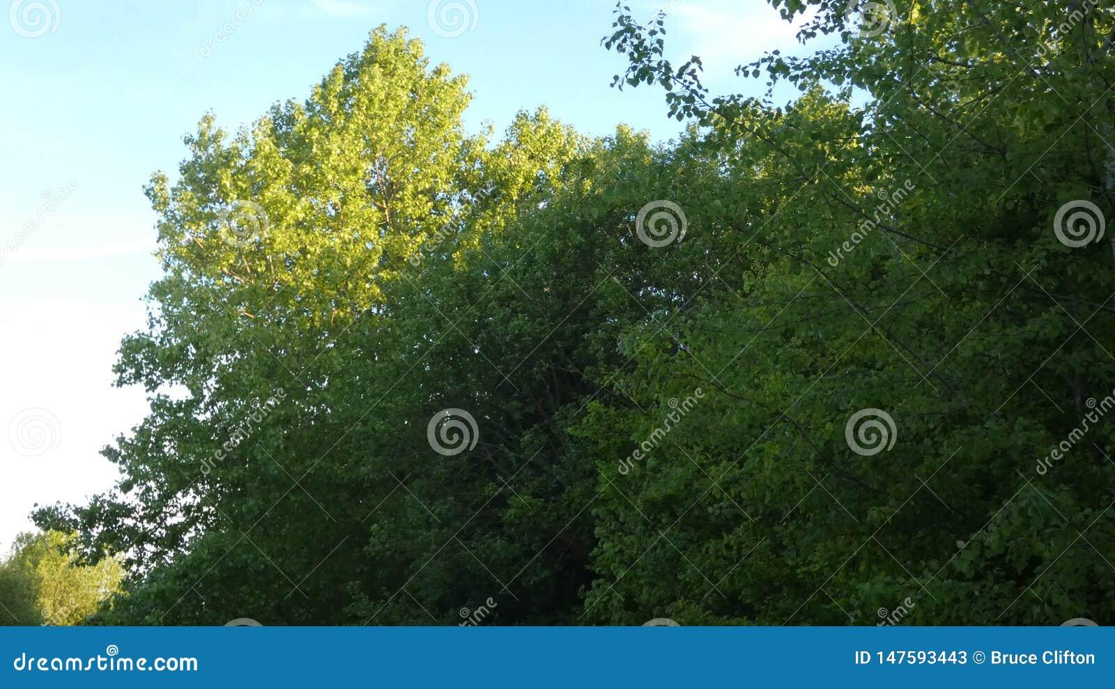 山毛榉树,在日落的Phagos
