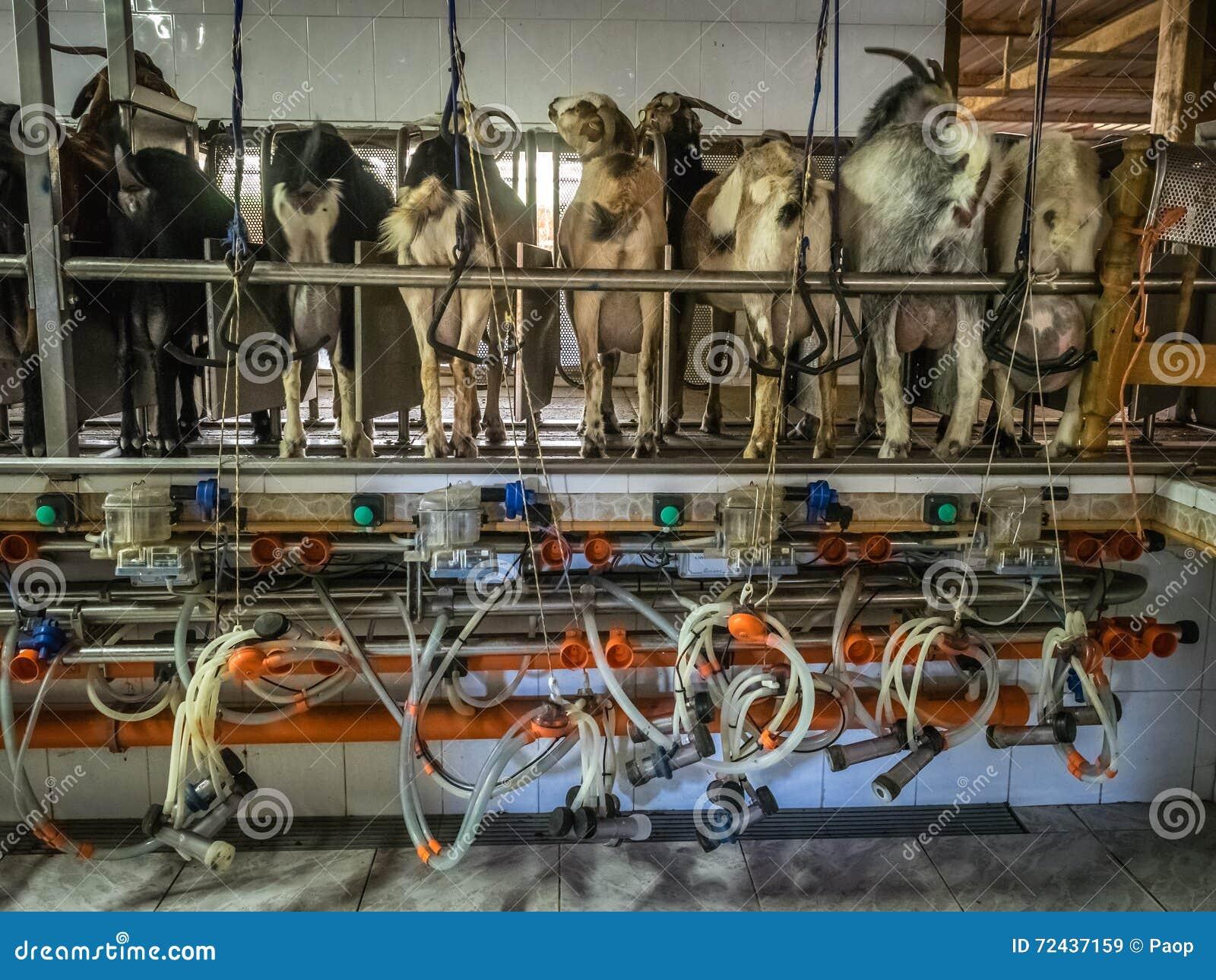 山羊自动化的挤奶