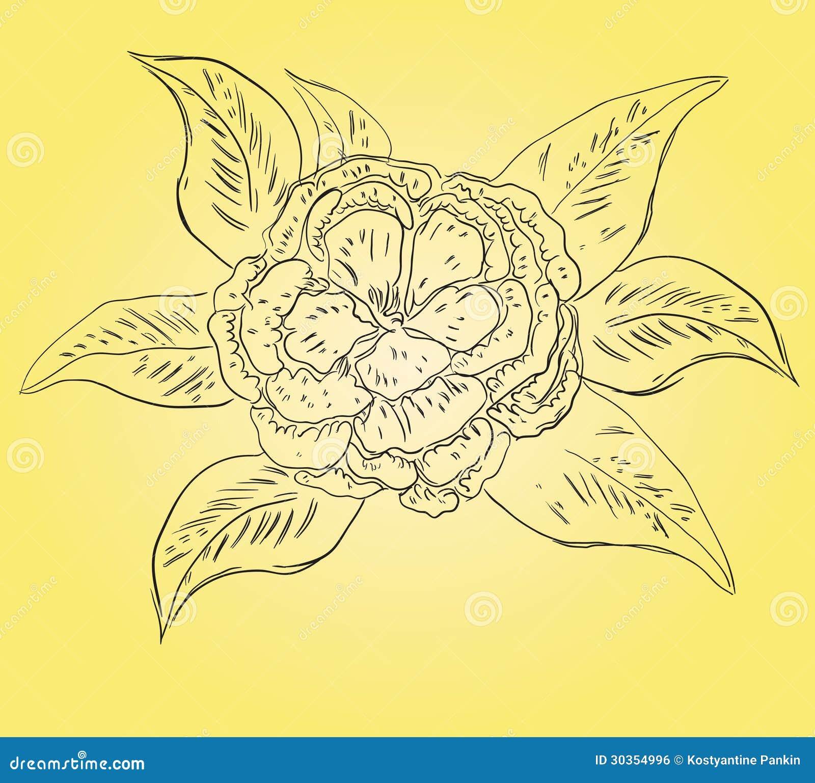 山茶花 免版税库存图片 - 图片: 30354996图片
