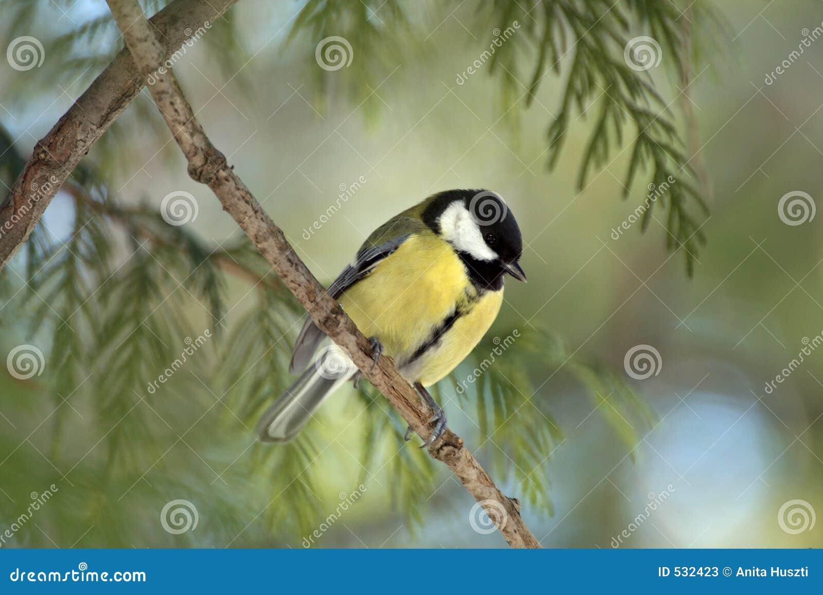 Download 山雀汤姆 库存图片. 图片 包括有 木头, 山雀, 汤姆, 少校, 结构树, 绿色, 双翼飞机, 黄色, 少许 - 532423
