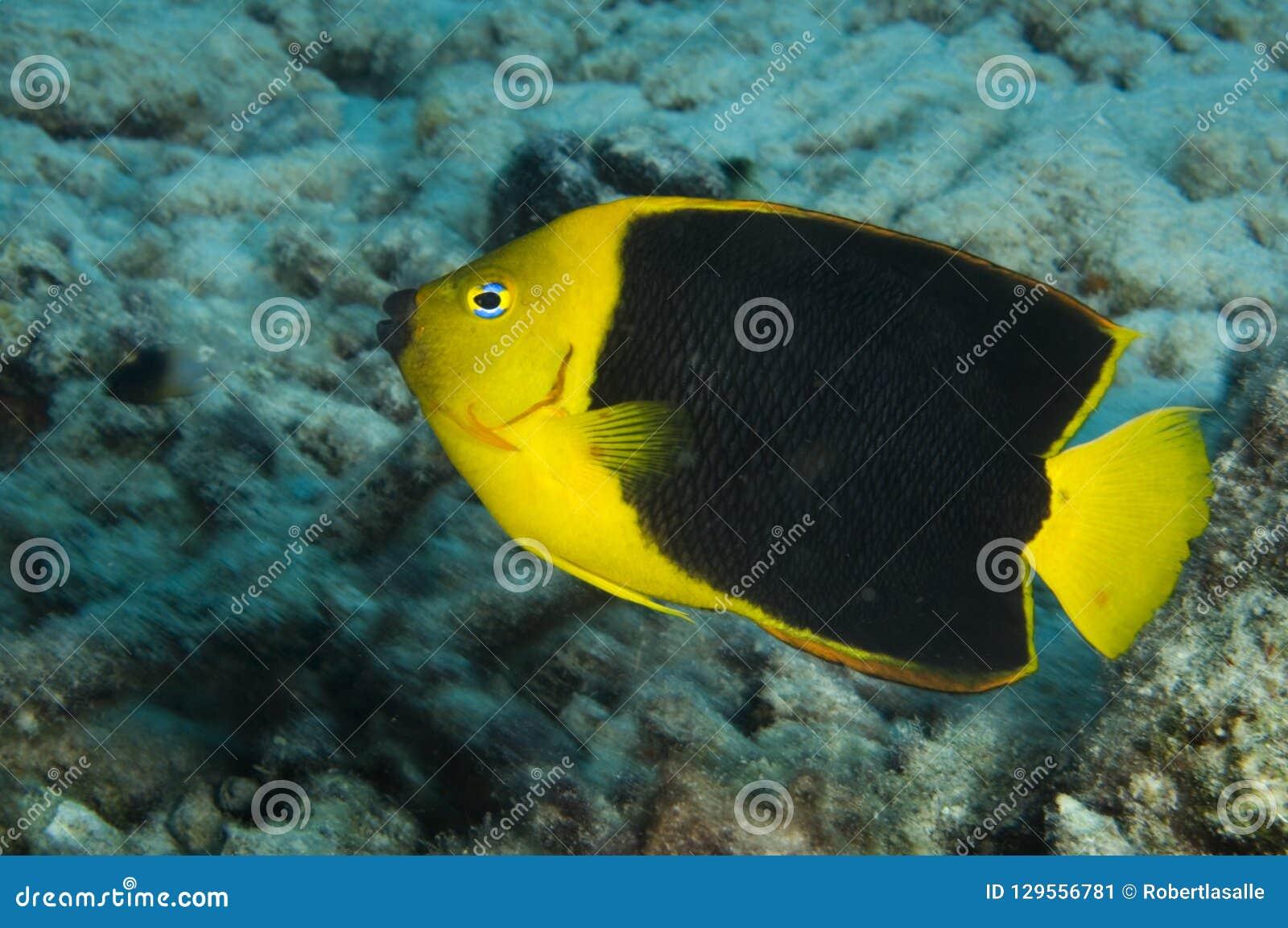 岩石在珊瑚礁的秀丽神仙鱼在博奈尔岛在加勒比