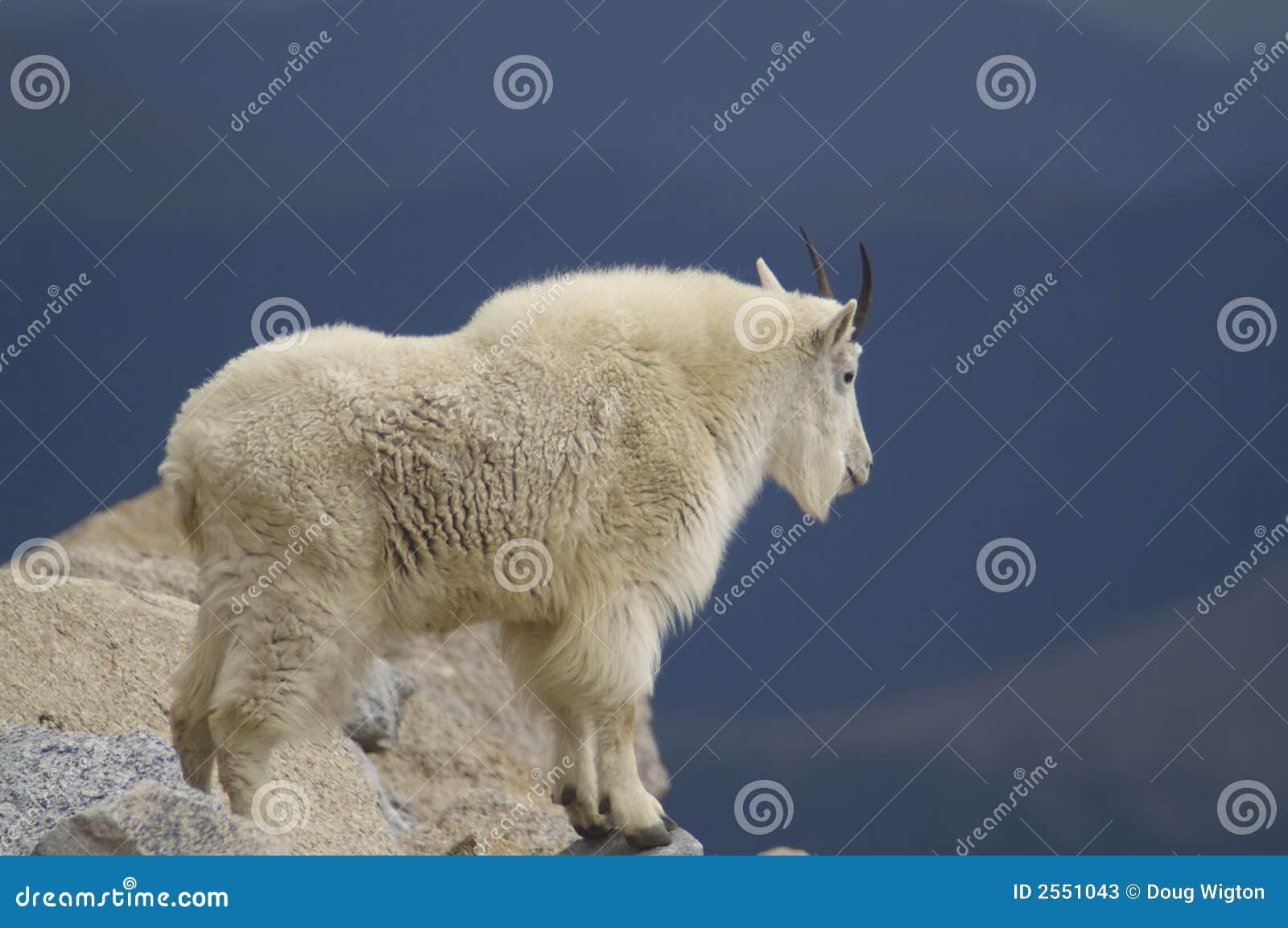岩石山羊的山