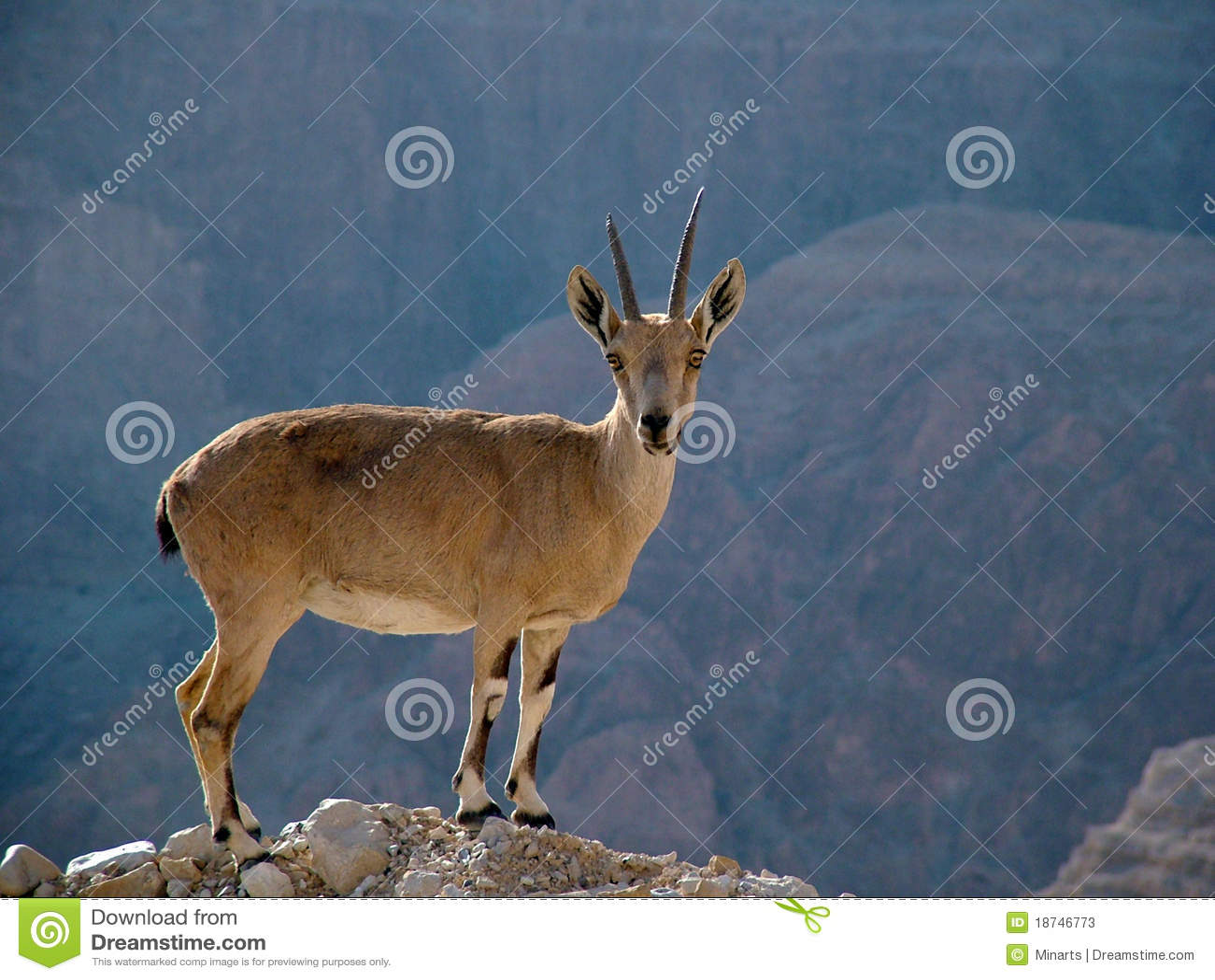 峭壁沙漠高地山羊judea顶层