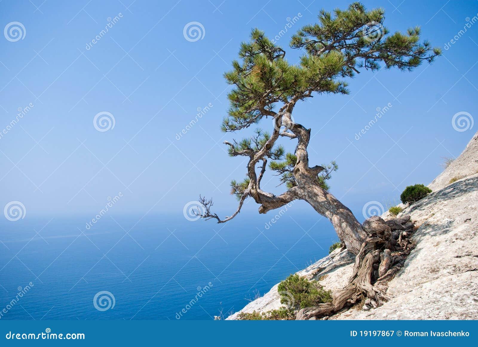 峭壁边缘冷杉孤立结构树
