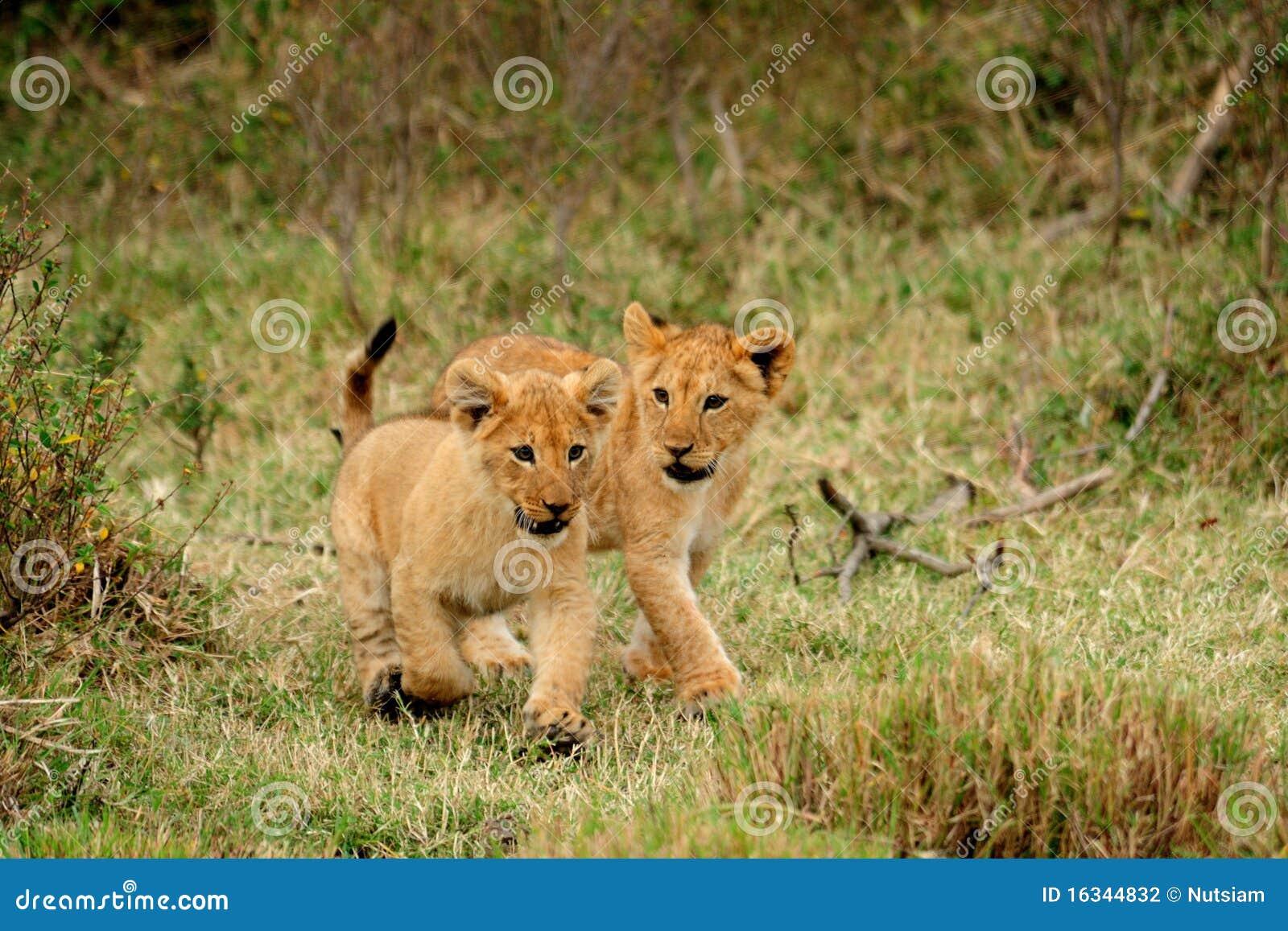 崽狮子运行的年轻人