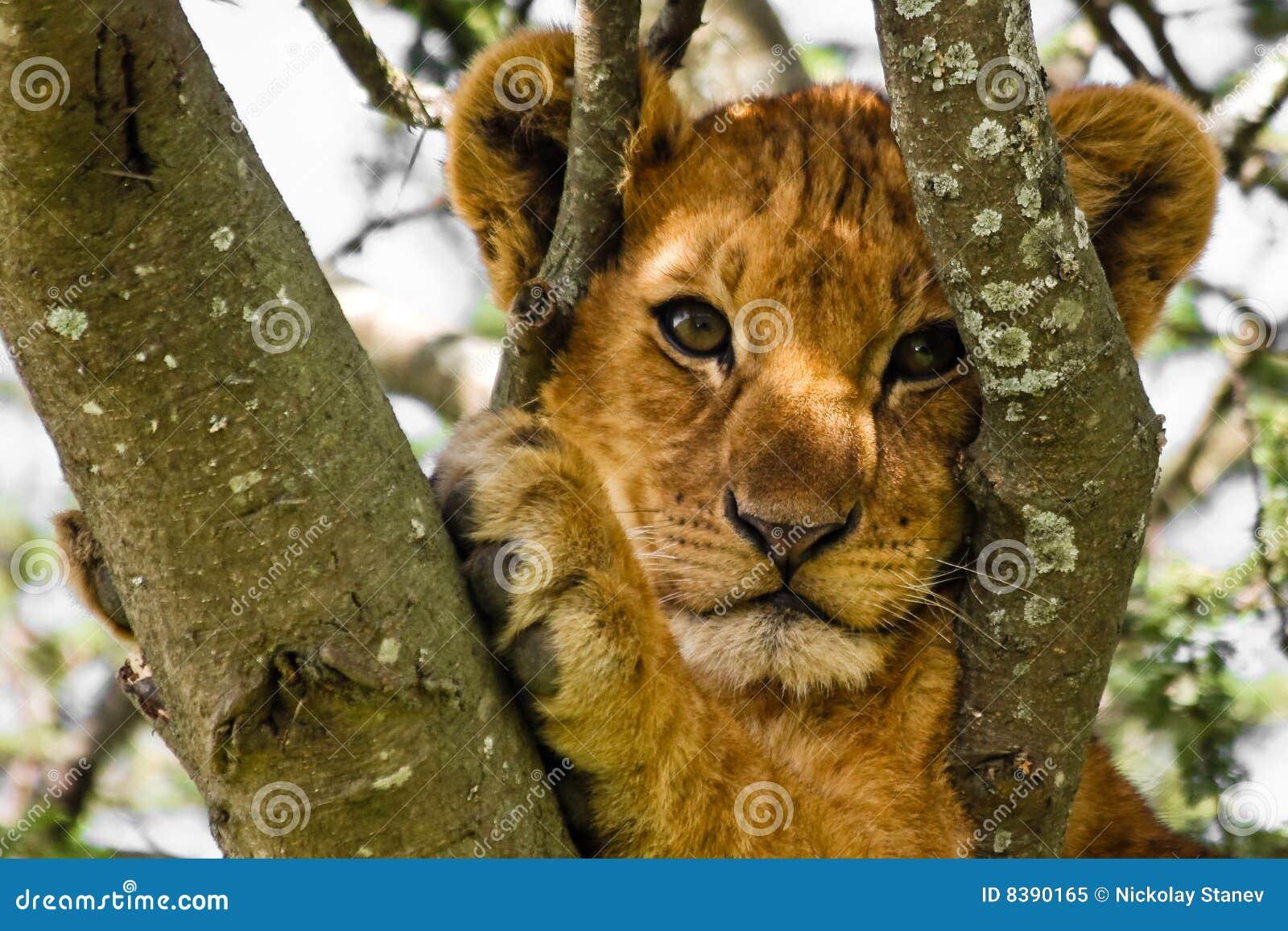 崽逗人喜爱的狮子纵向