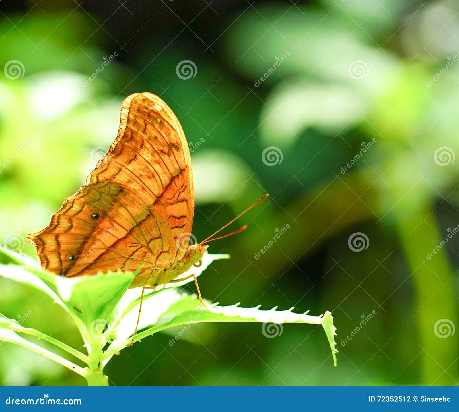 巡洋舰蝴蝶在庭院里