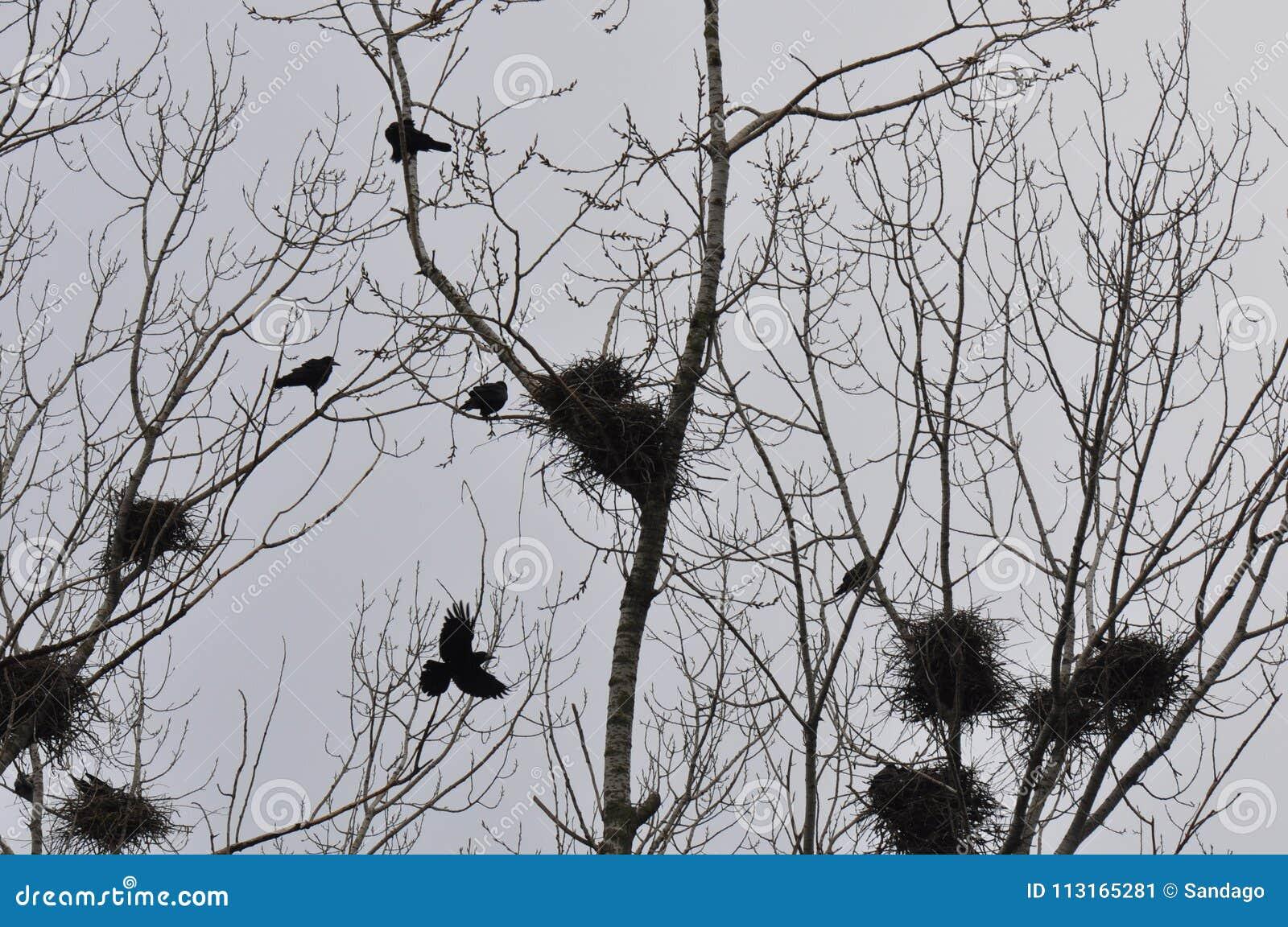 巢和乌鸦在树上面分支