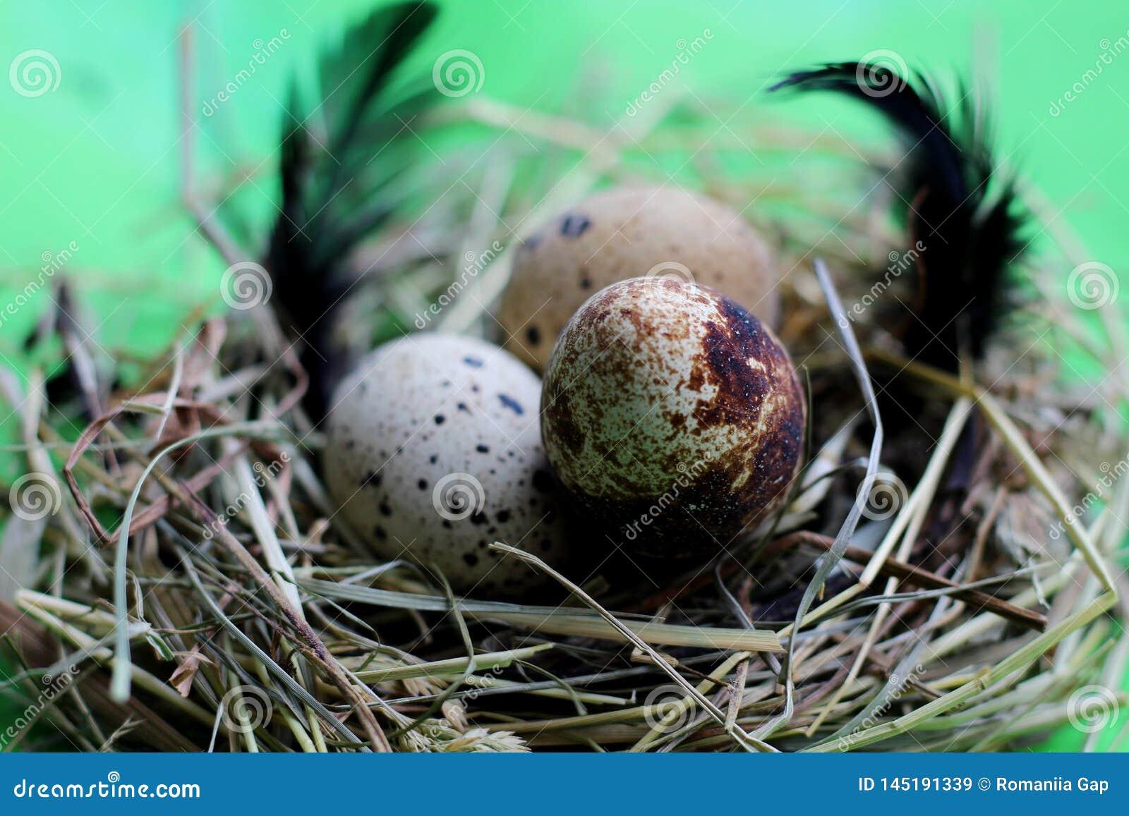 巢用鹌鹑蛋和羽毛在浅绿色的背景