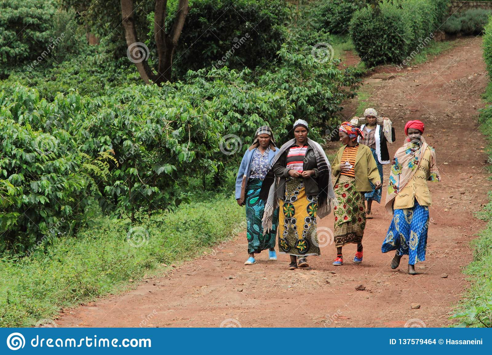 工作在咖啡种植园的小组妇女