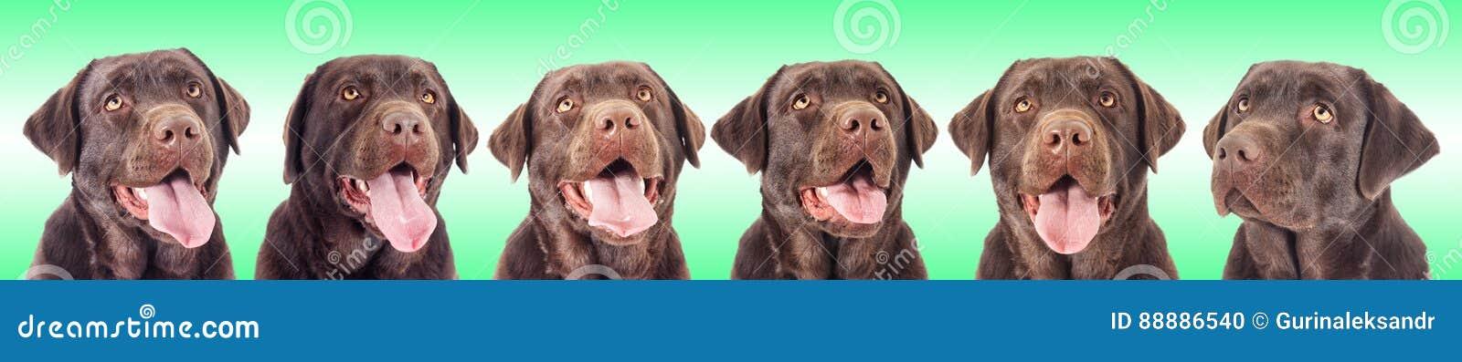 巧克力拉布拉多狗的画象