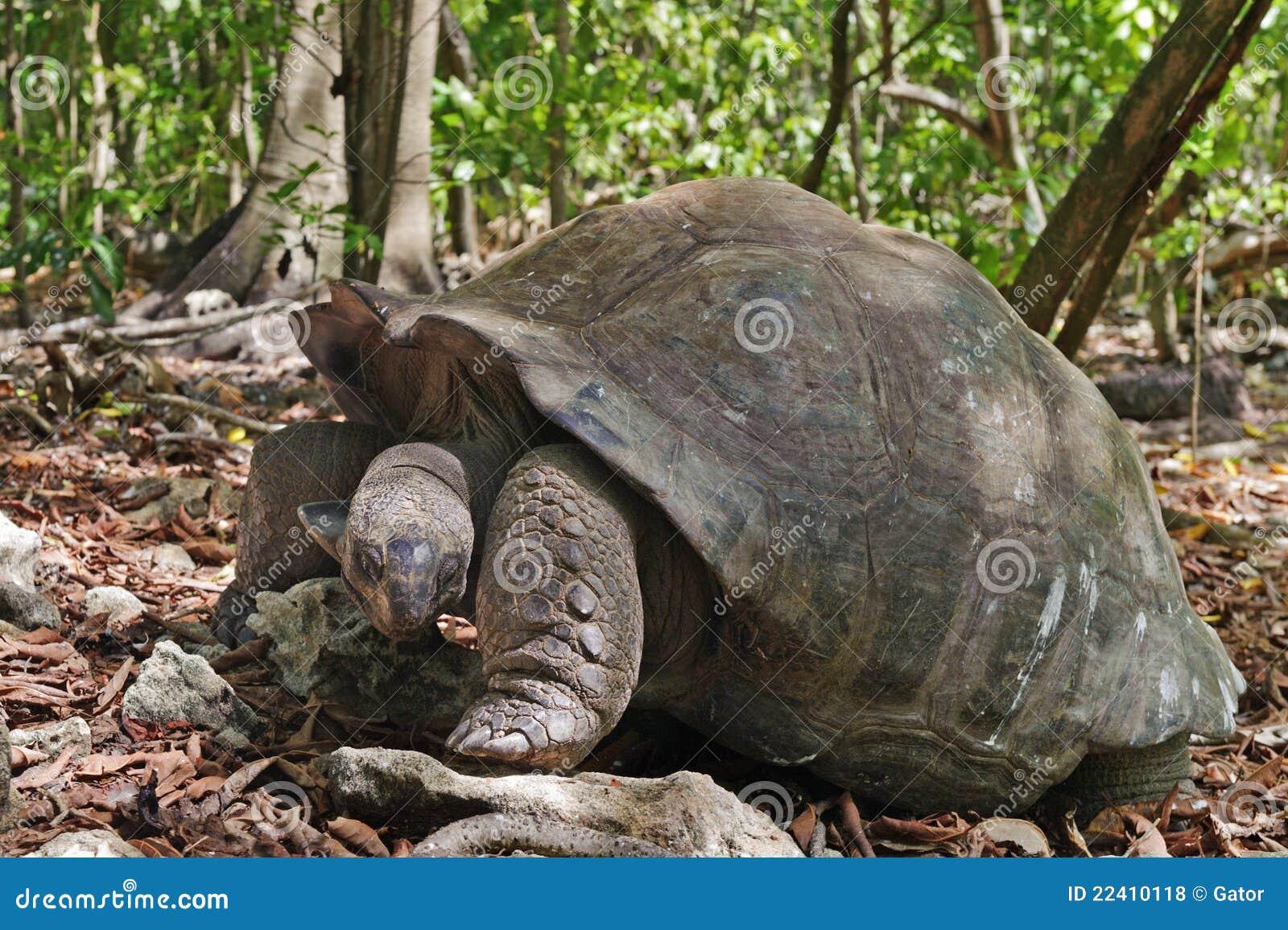 巨型塞舌尔群岛草龟