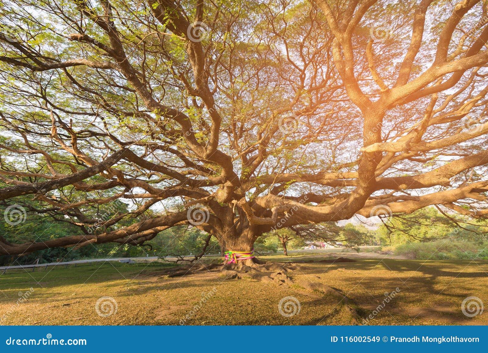 巨型树在植物园热带密林泰国