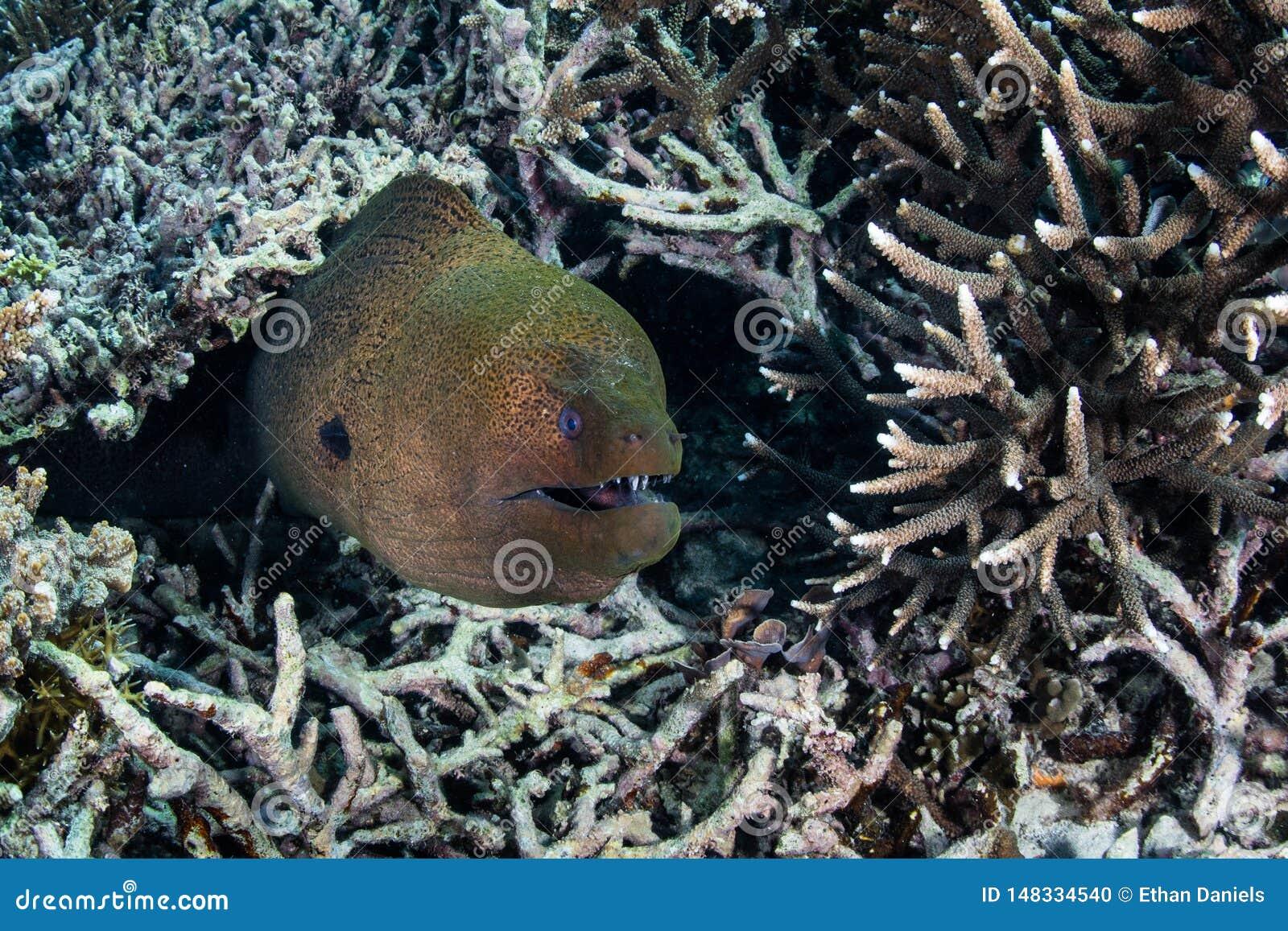巨型海鳝和珊瑚