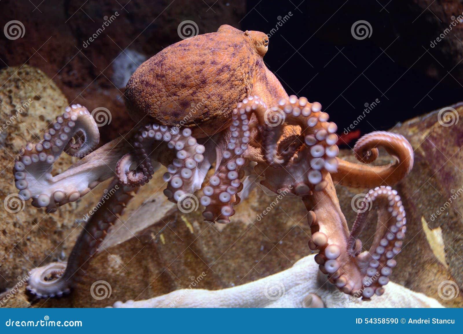 巨型章鱼太平洋