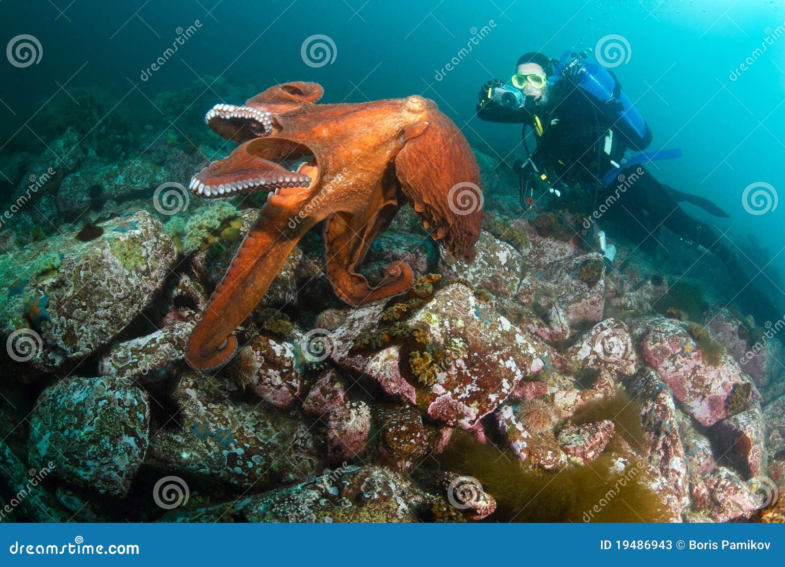 巨型章鱼dofleini和潜水员