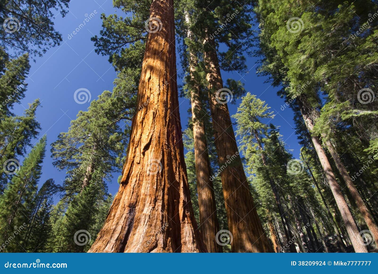 巨型美国加州红杉树, Mariposa树丛,优胜美地国家公园,加利福尼亚,美国