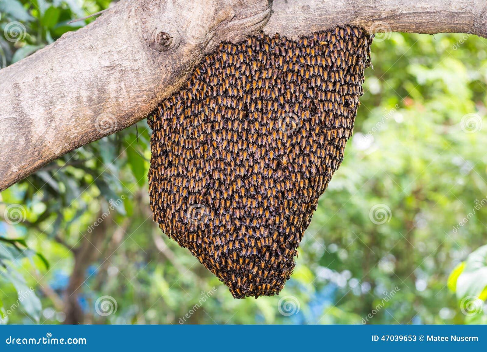 垂悬从蜂蜜的大的蝴蝶树枝.巴甘的蜂群读后感300字图片