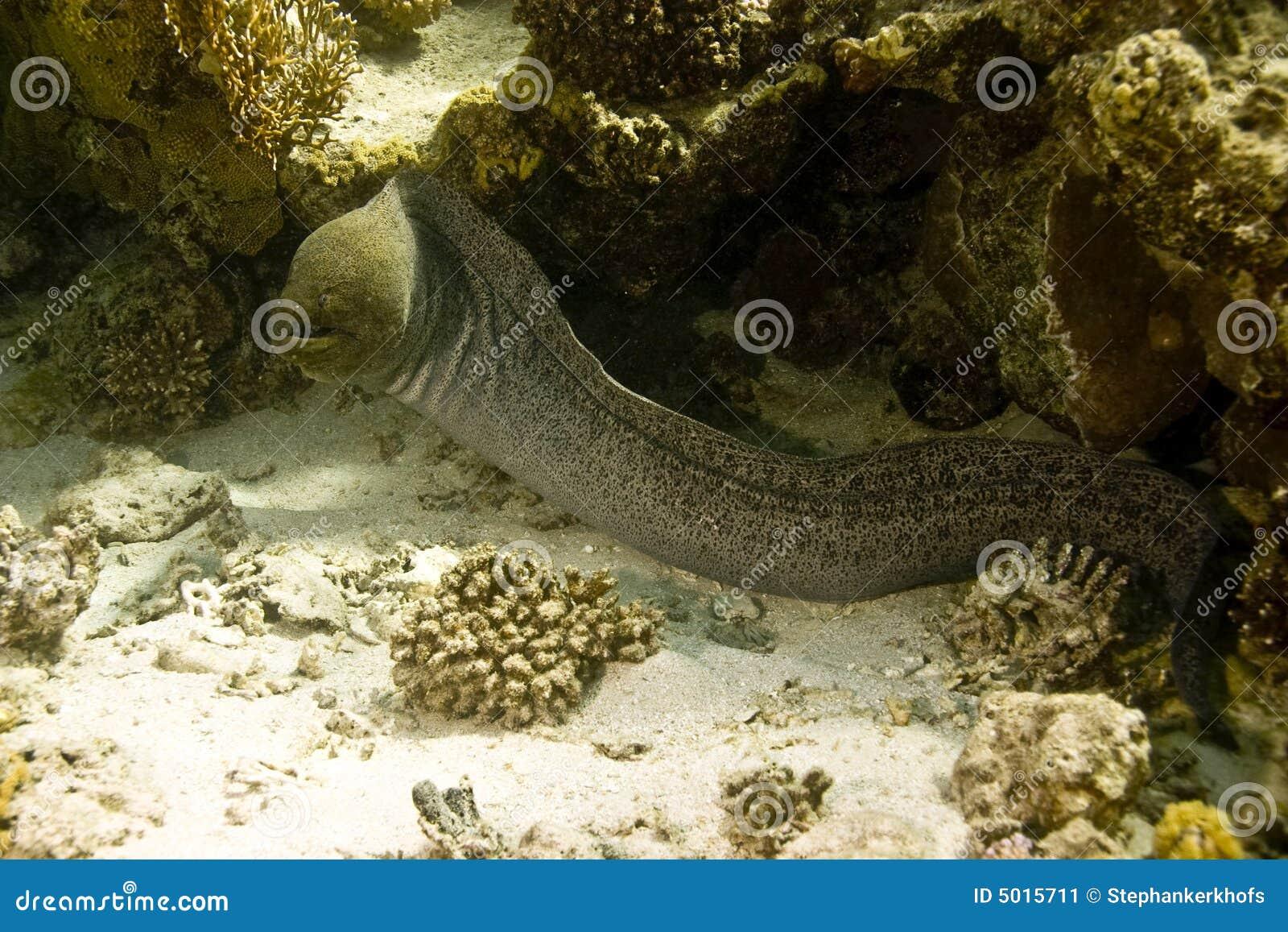 巨型gymnothorax javanicus海鳗