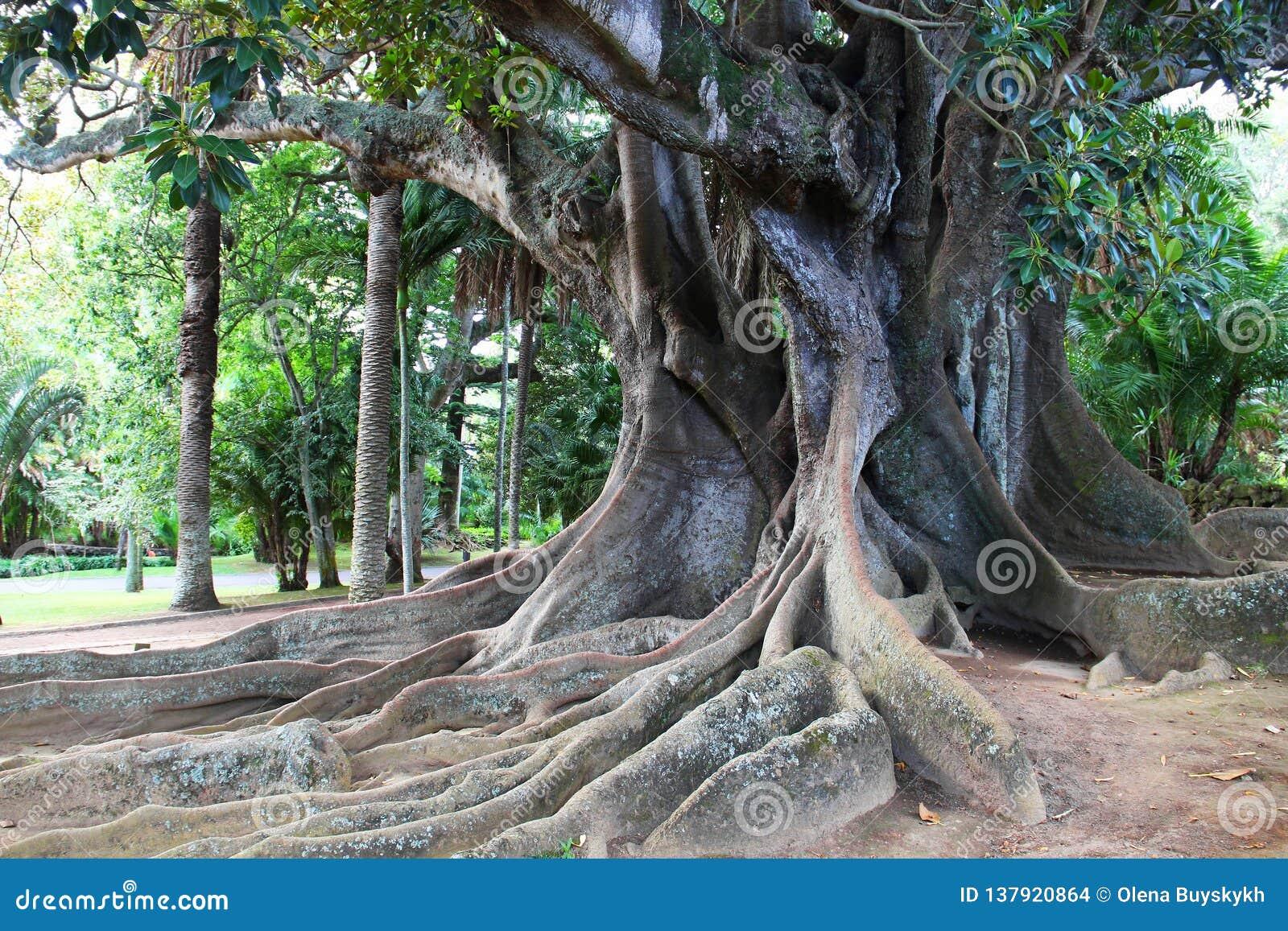巨大的榕属树在安东尼奥博尔赫斯公园,蓬塔德尔加达,亚速尔海岛