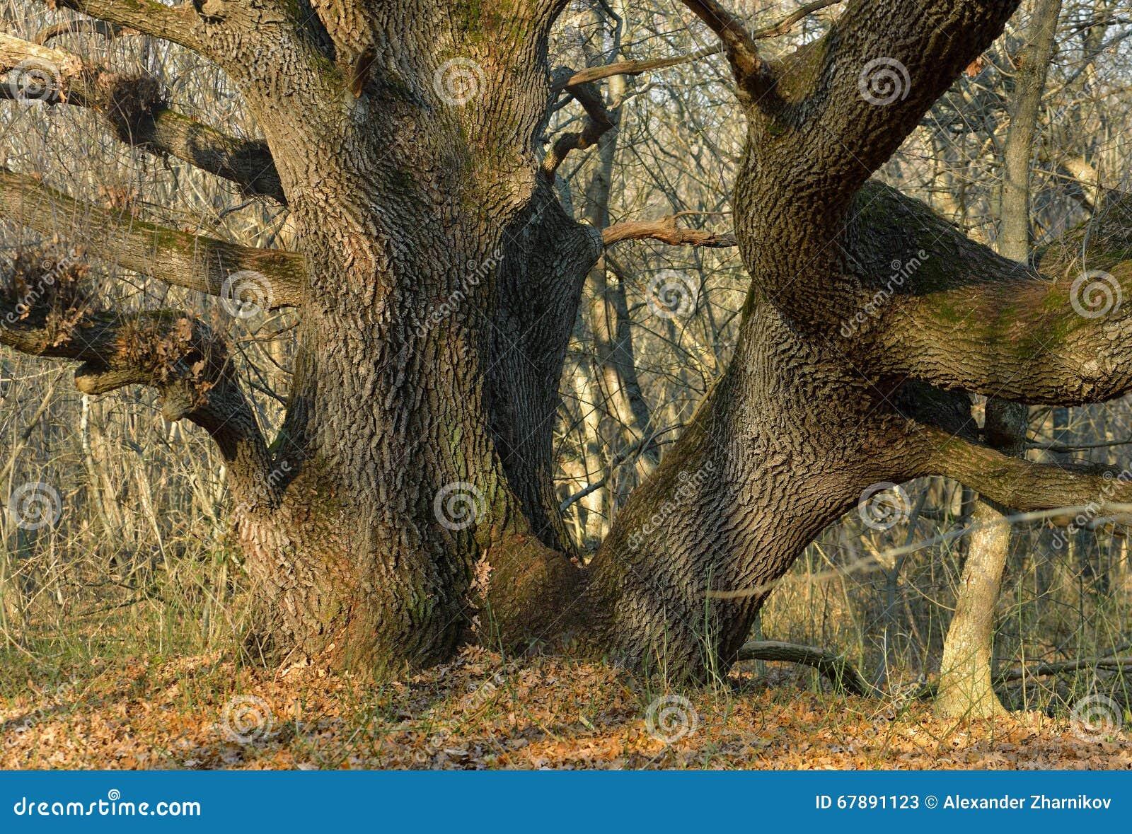 巨大的橡木