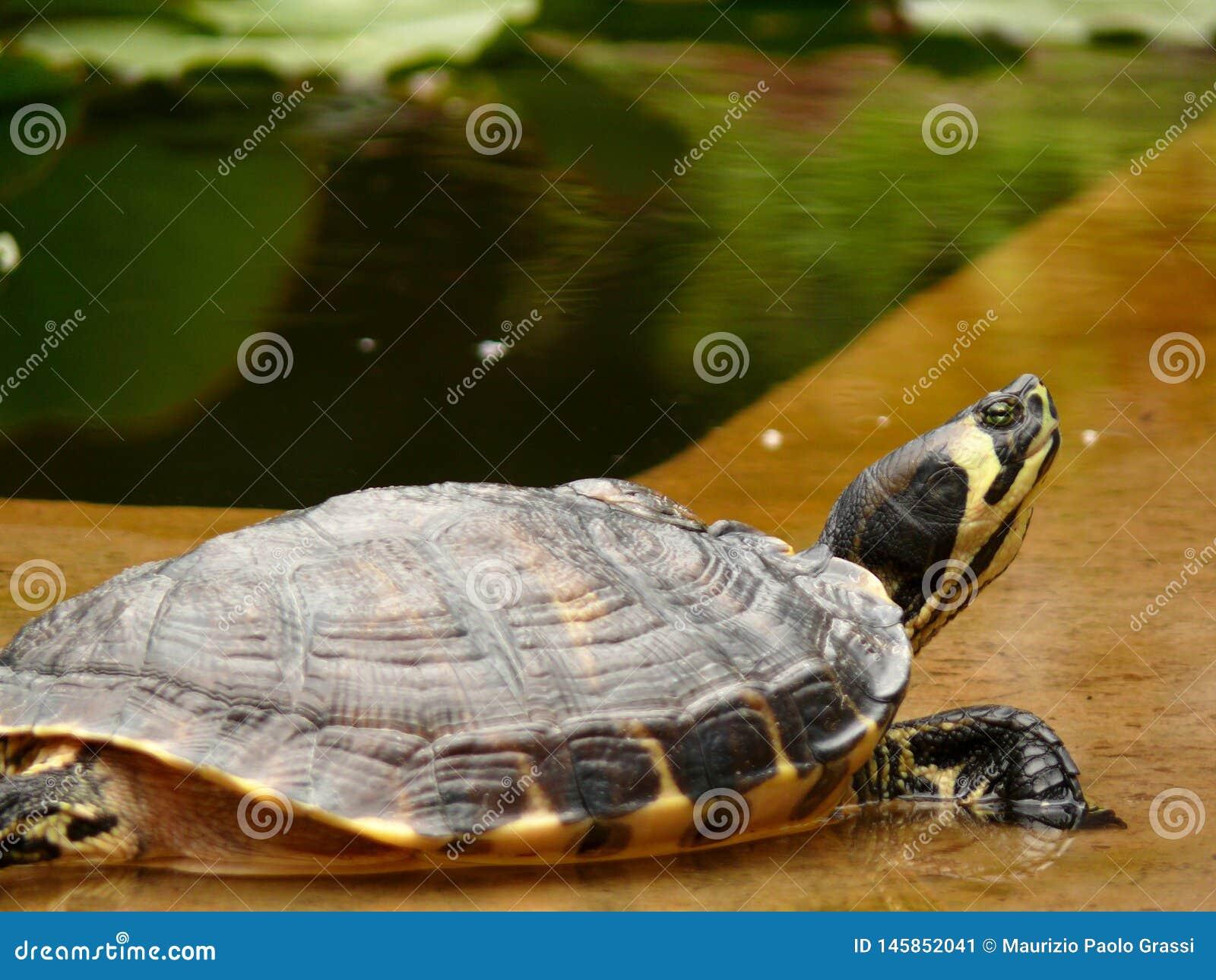 巴勒莫,西西里岛,意大利 在植物园的乌龟