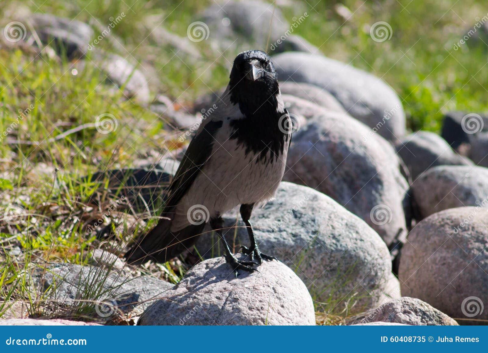 戴头巾的乌鸦