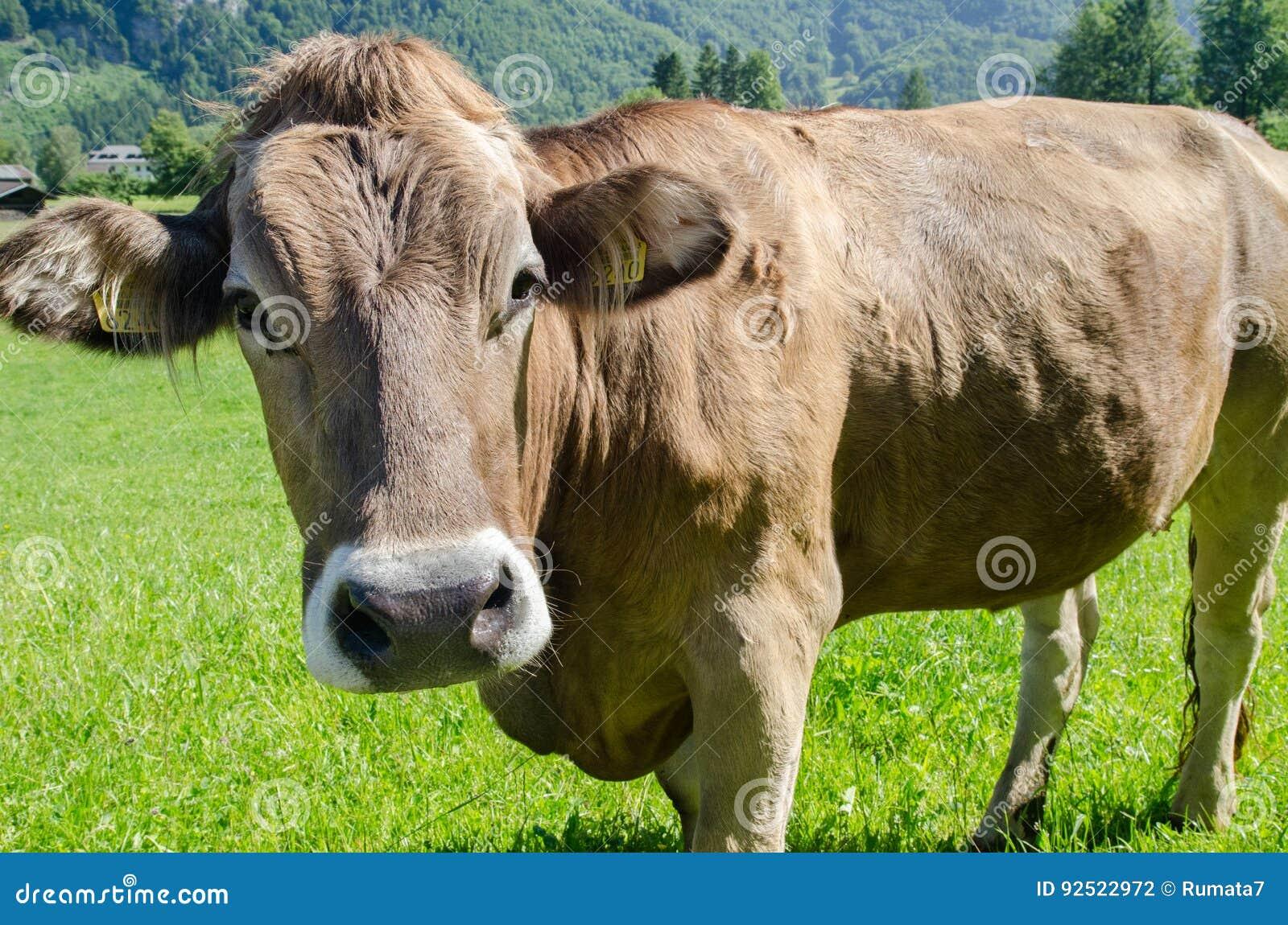 布朗在绿色草甸的瑞士人母牛有高山山背景