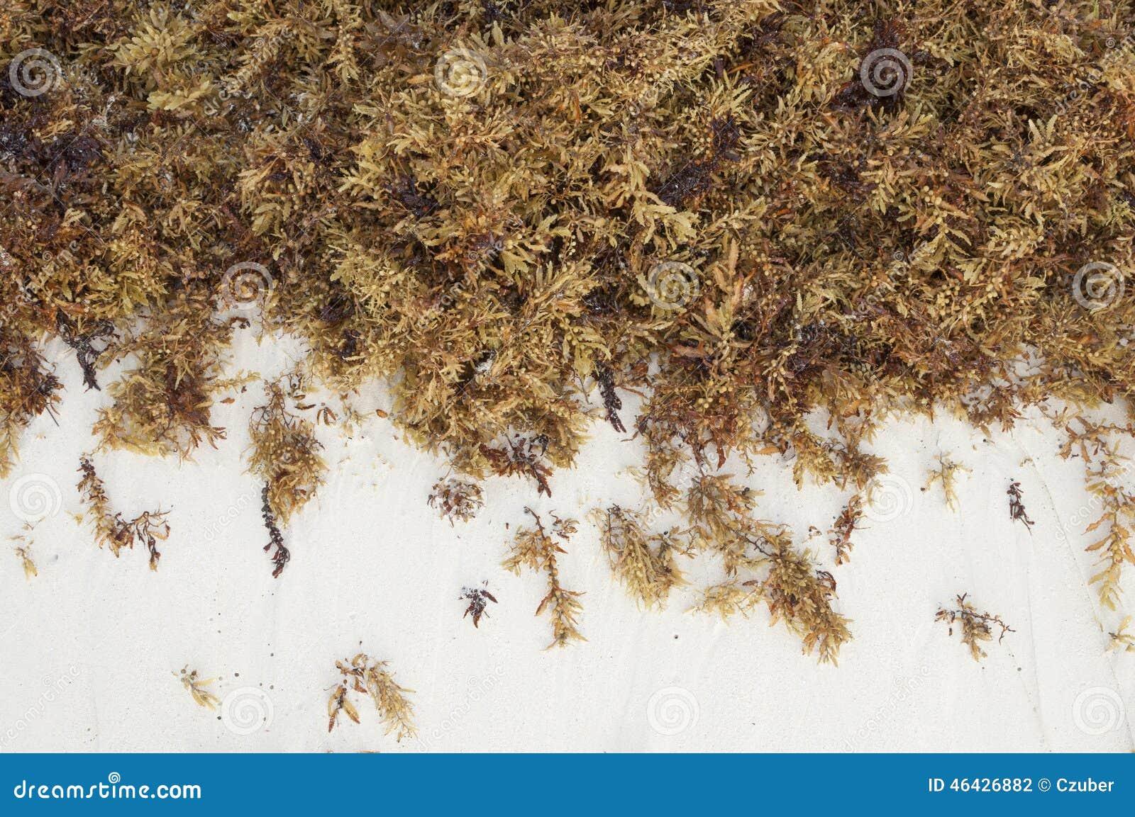 布朗海海藻和白色沙子