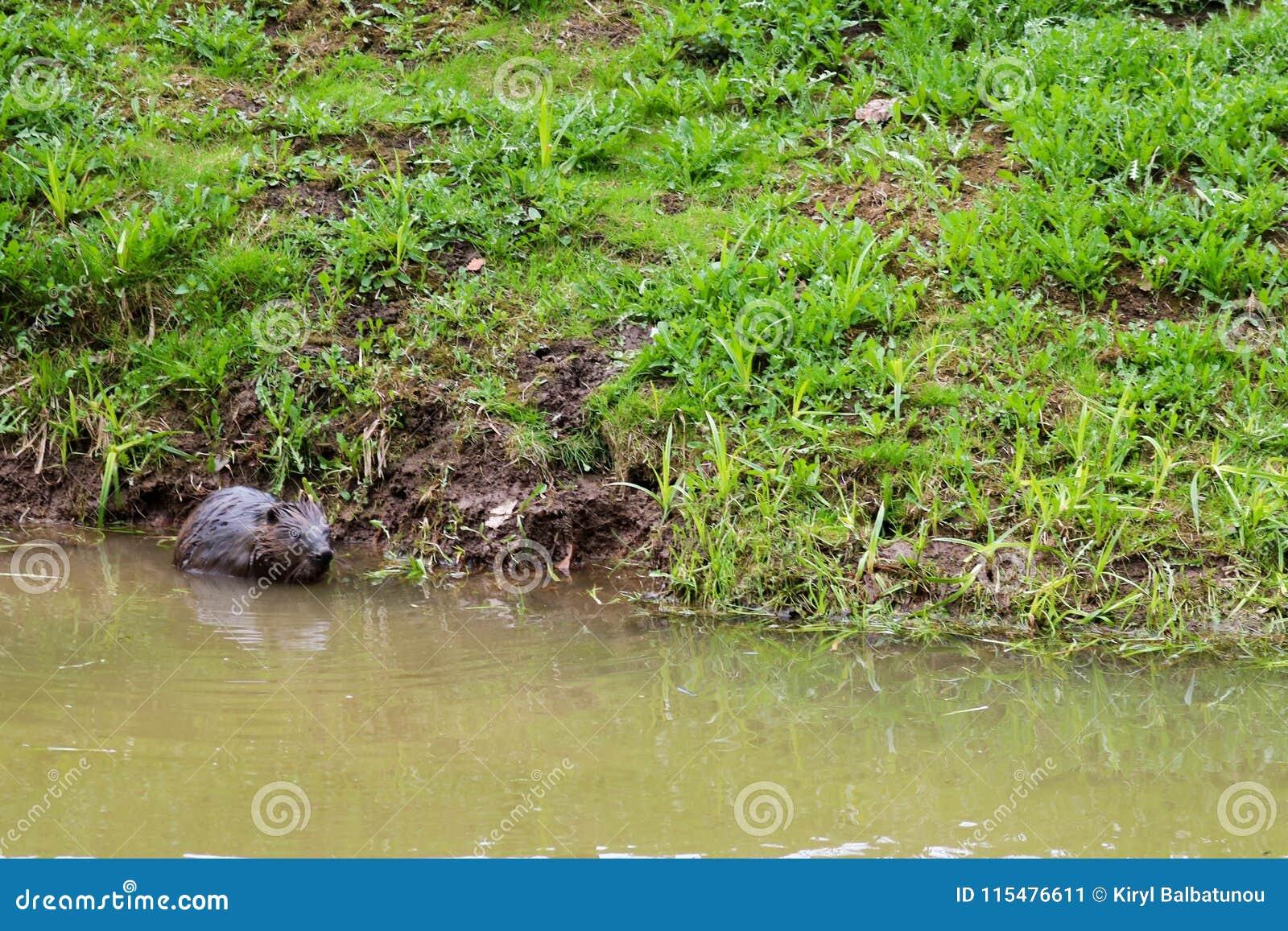 布朗湿狂放与锋利的牙齿和大尾巴水生海狸平凡,啮齿目动物在池塘,有泥泞的棕色wate的一条河漂浮
